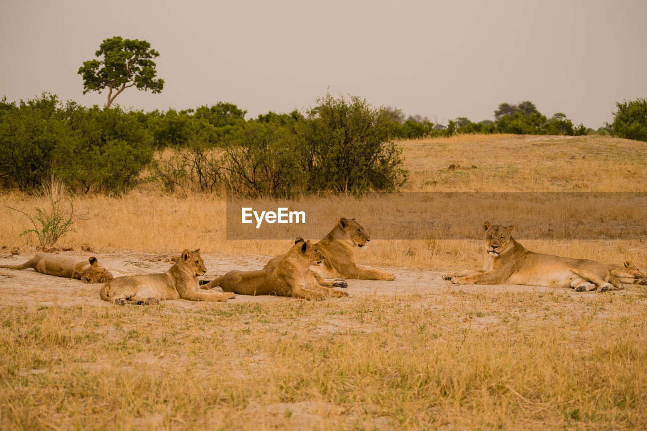 Close-Up Of Lionesses On Field