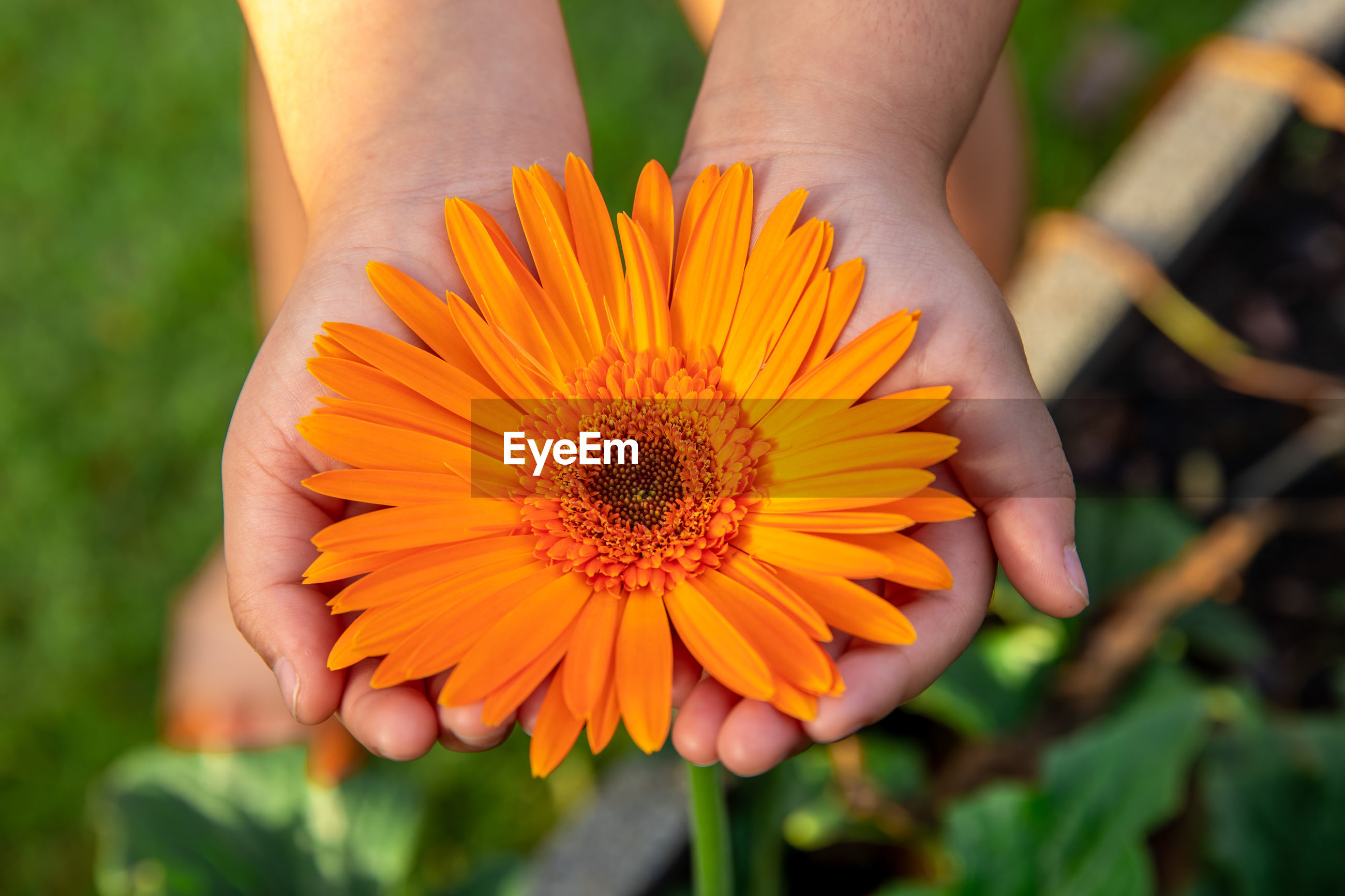 Cropped hands of person holding orange flower