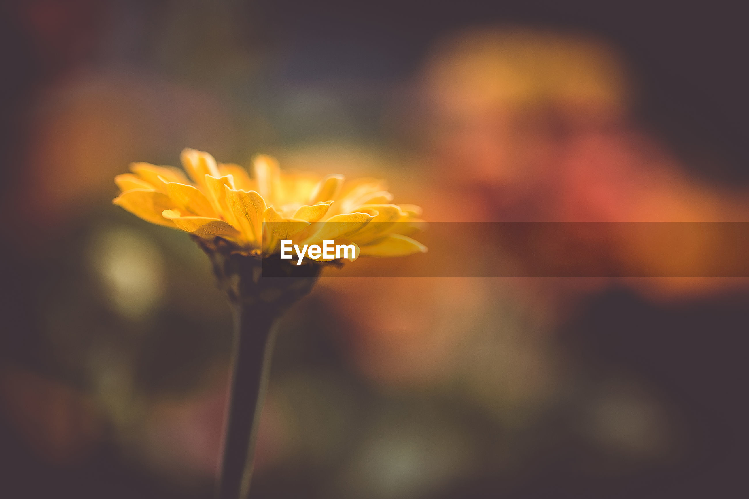 CLOSE-UP OF ORANGE FLOWER IN SUNLIGHT