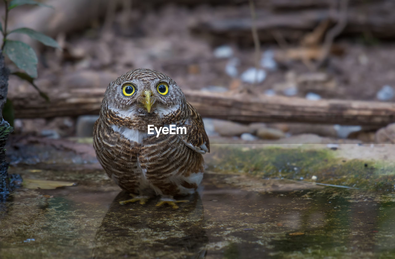 animal, animal themes, animals in the wild, vertebrate, one animal, animal wildlife, bird, day, bird of prey, no people, nature, owl, close-up, selective focus, water, outdoors, land, looking, looking away