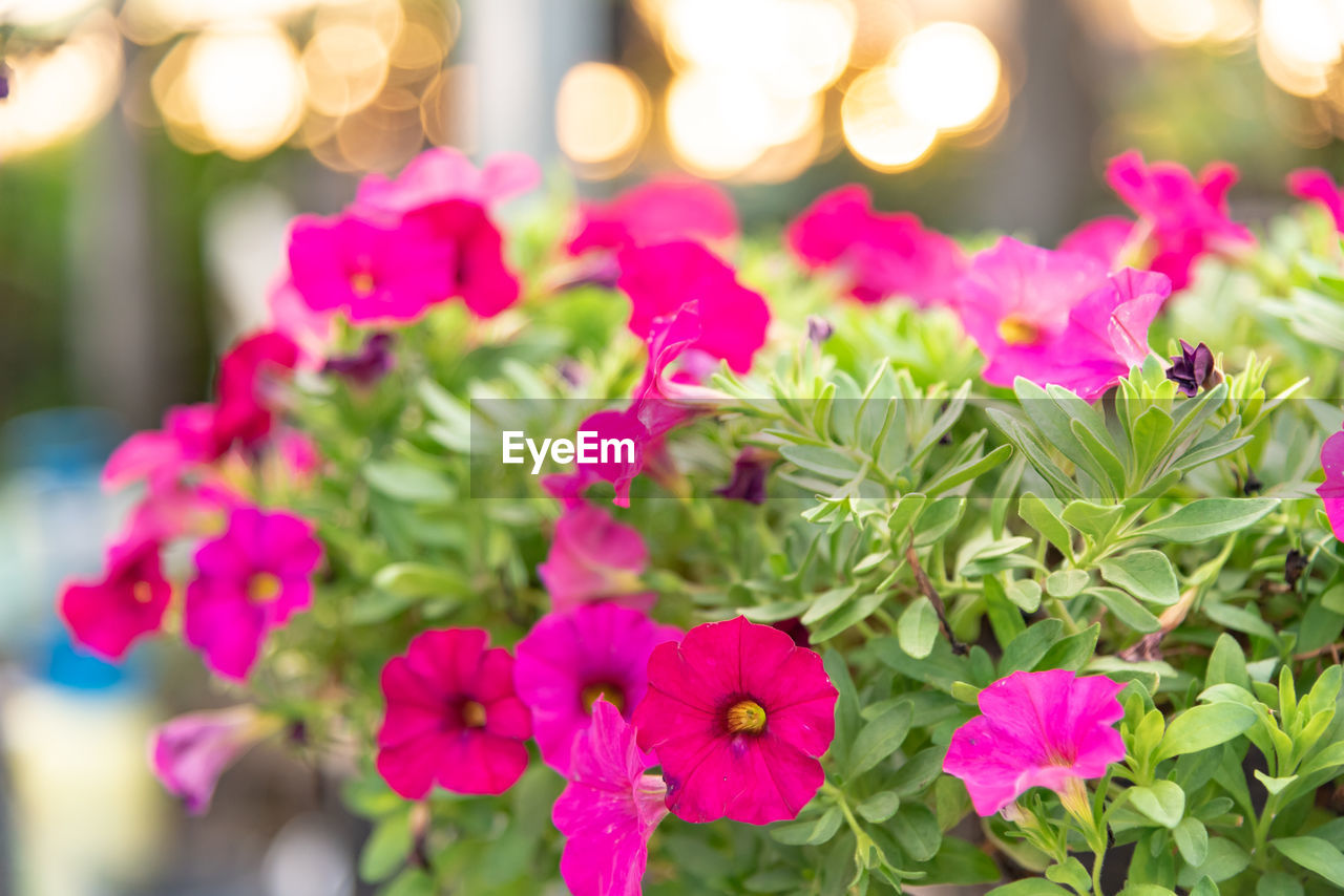 flower, flowering plant, plant, beauty in nature, freshness, pink color, vulnerability, fragility, petal, close-up, growth, inflorescence, flower head, selective focus, nature, no people, focus on foreground, day, leaf, outdoors