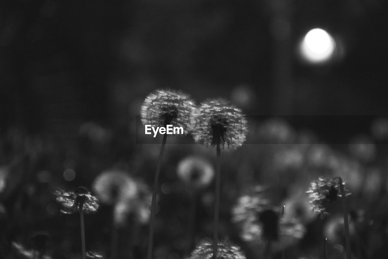growth, plant, fragility, vulnerability, flower, beauty in nature, close-up, flowering plant, freshness, nature, no people, selective focus, focus on foreground, tranquility, day, field, land, plant stem, outdoors, flower head, dandelion seed