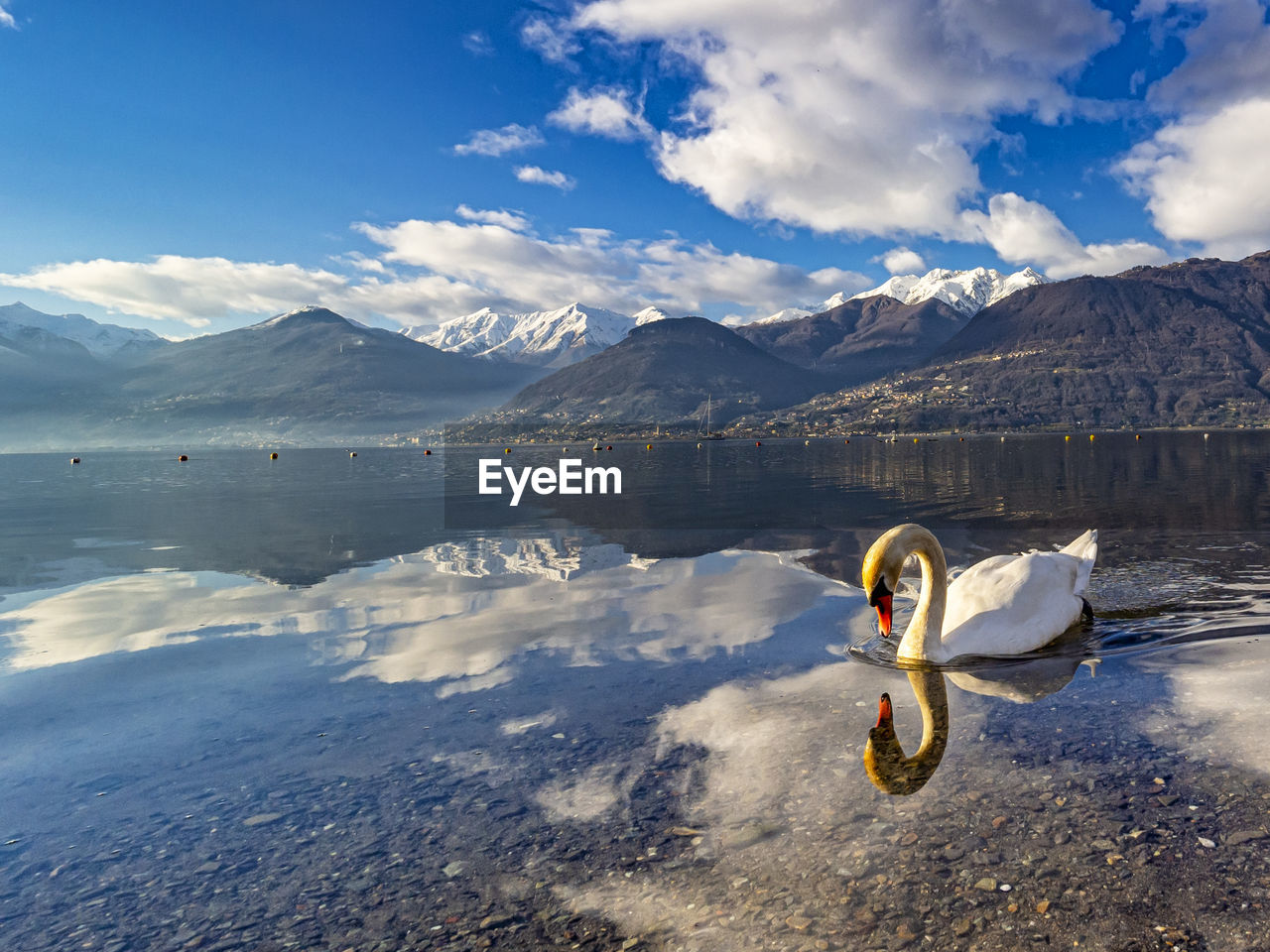 Swan swimming on lake como