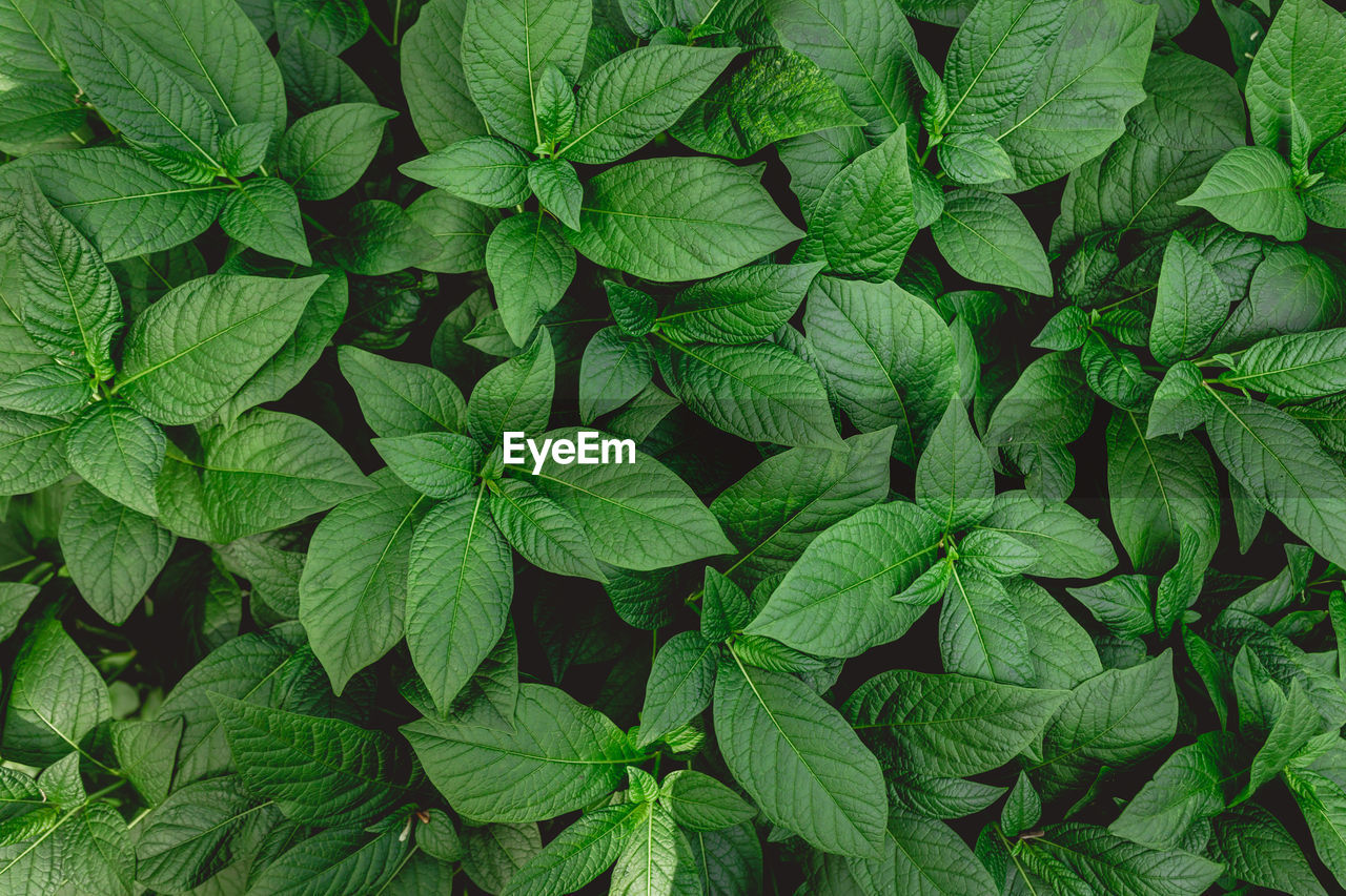 green color, leaf, full frame, plant part, backgrounds, growth, plant, no people, nature, leaves, directly above, high angle view, close-up, abundance, beauty in nature, freshness, day, leaf vein, herb, food and drink