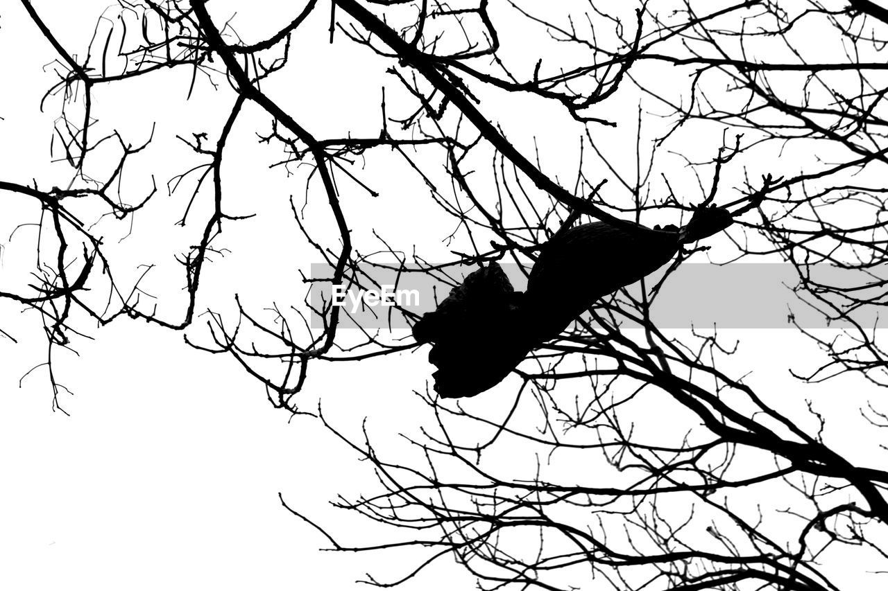 bare tree, branch, silhouette, animal themes, animals in the wild, one animal, bird, tree, low angle view, perching, animal wildlife, nature, outdoors, crow, no people, clear sky, raven - bird, sky, day, beauty in nature, bat - animal, bird of prey, mammal, hornbill