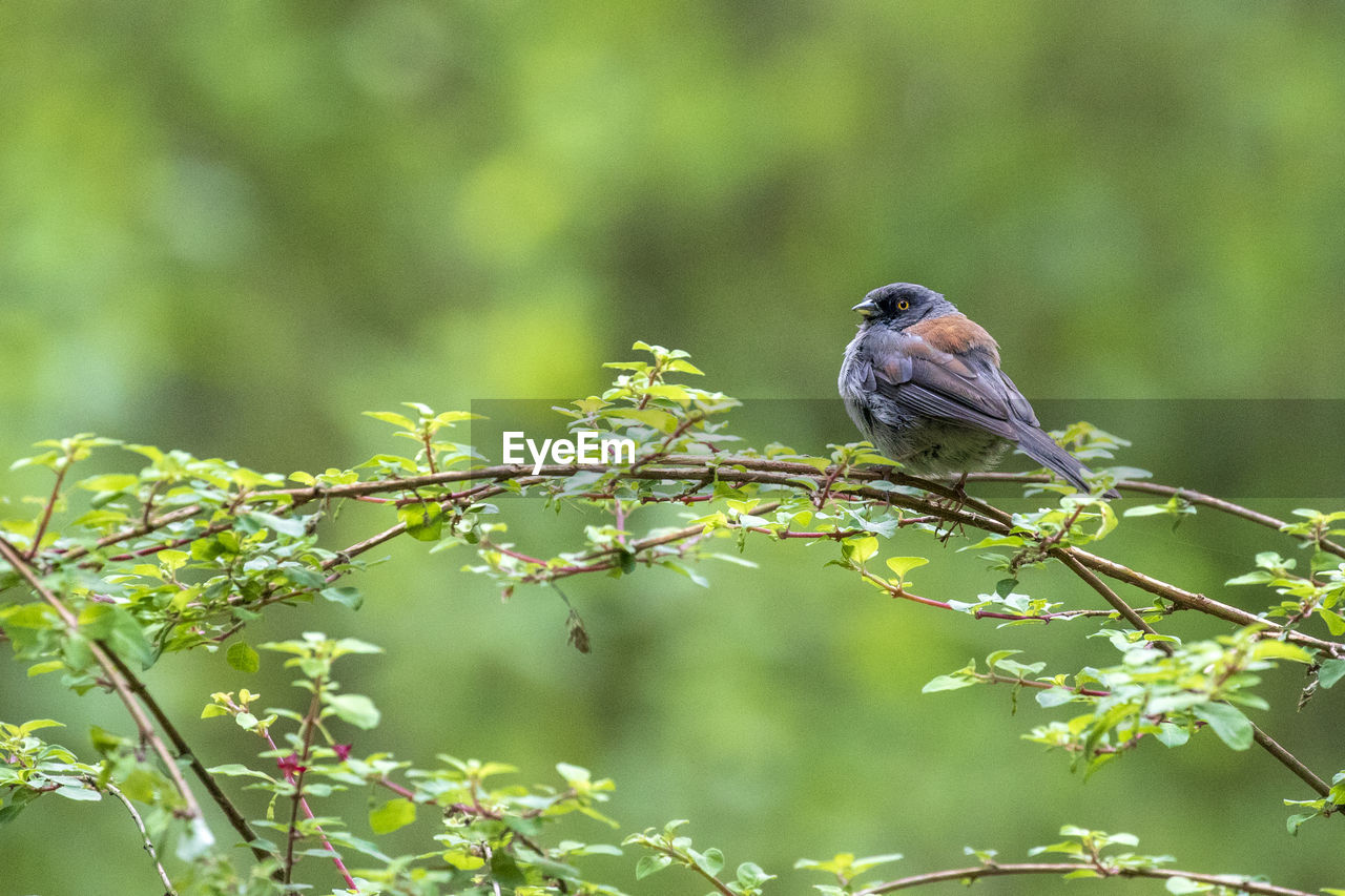 animal, animal themes, animals in the wild, animal wildlife, one animal, vertebrate, bird, perching, plant, focus on foreground, day, tree, green color, nature, no people, beauty in nature, branch, outdoors, growth, songbird