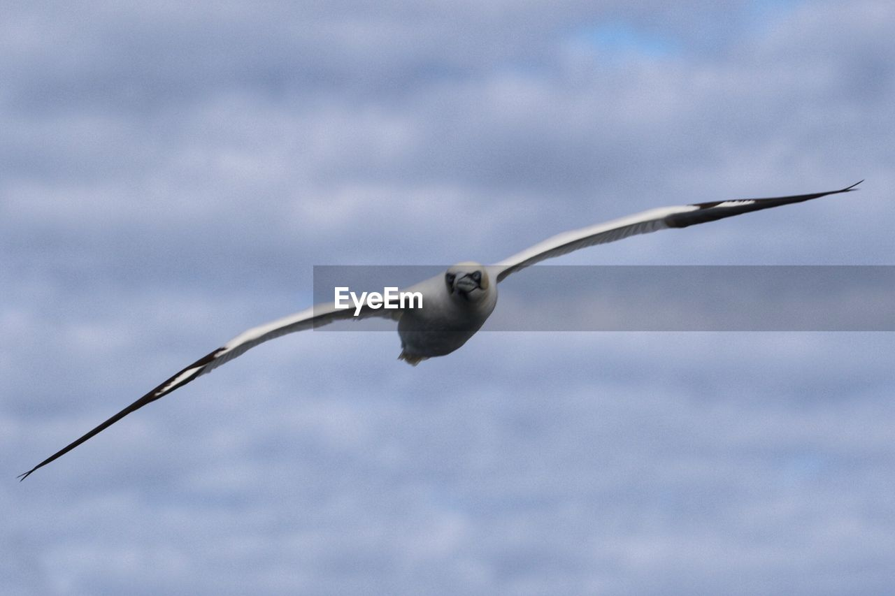 one animal, animal, animal themes, vertebrate, animal wildlife, animals in the wild, bird, spread wings, flying, no people, sky, nature, day, cloud - sky, motion, outdoors, focus on foreground, mid-air, seagull, low angle view