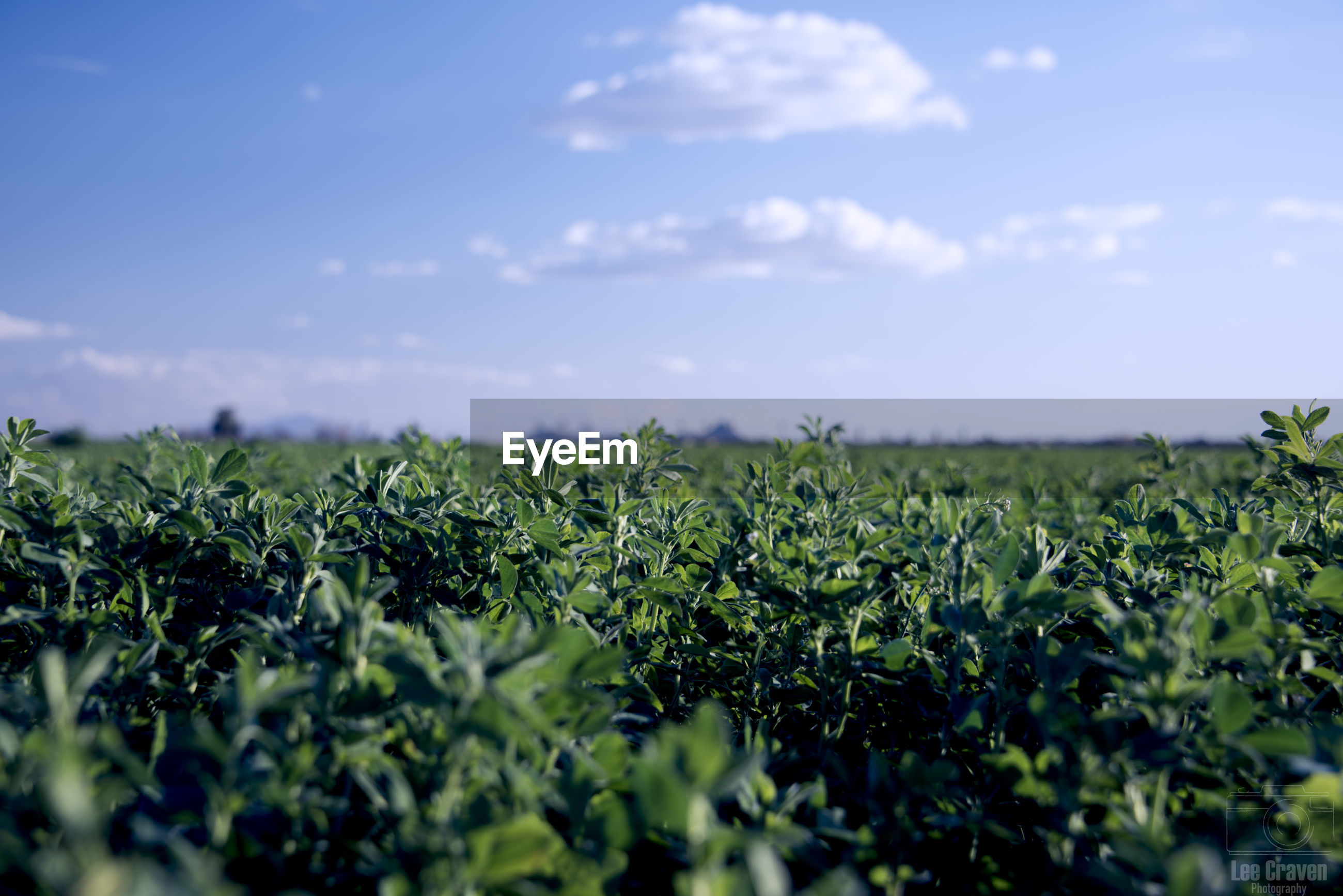 CLOSE-UP OF CROP IN FIELD AGAINST SKY