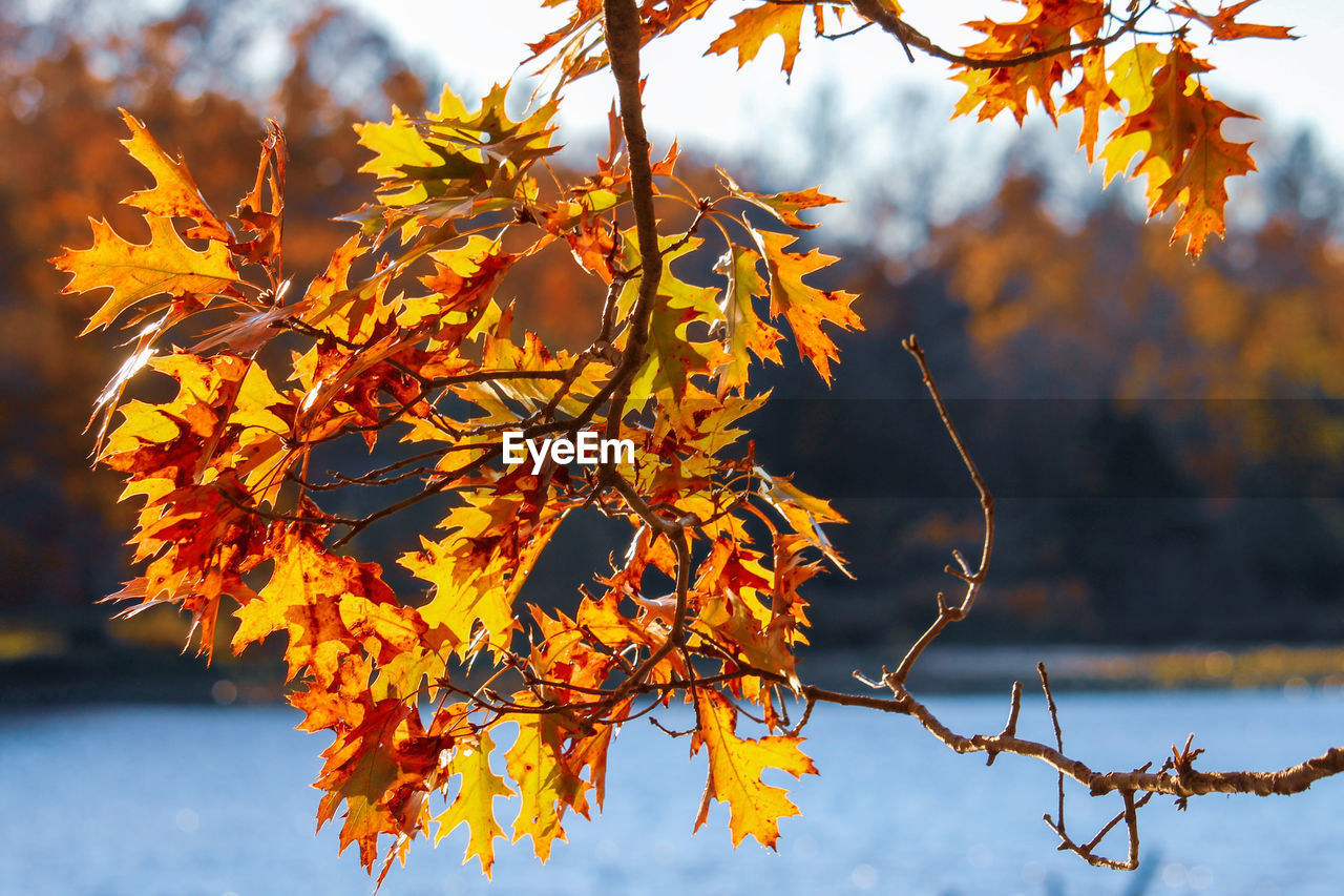 autumn, change, plant, plant part, tree, leaf, orange color, beauty in nature, nature, focus on foreground, branch, growth, no people, day, close-up, outdoors, maple leaf, tranquility, leaves, sky, maple tree, autumn collection, natural condition, fall