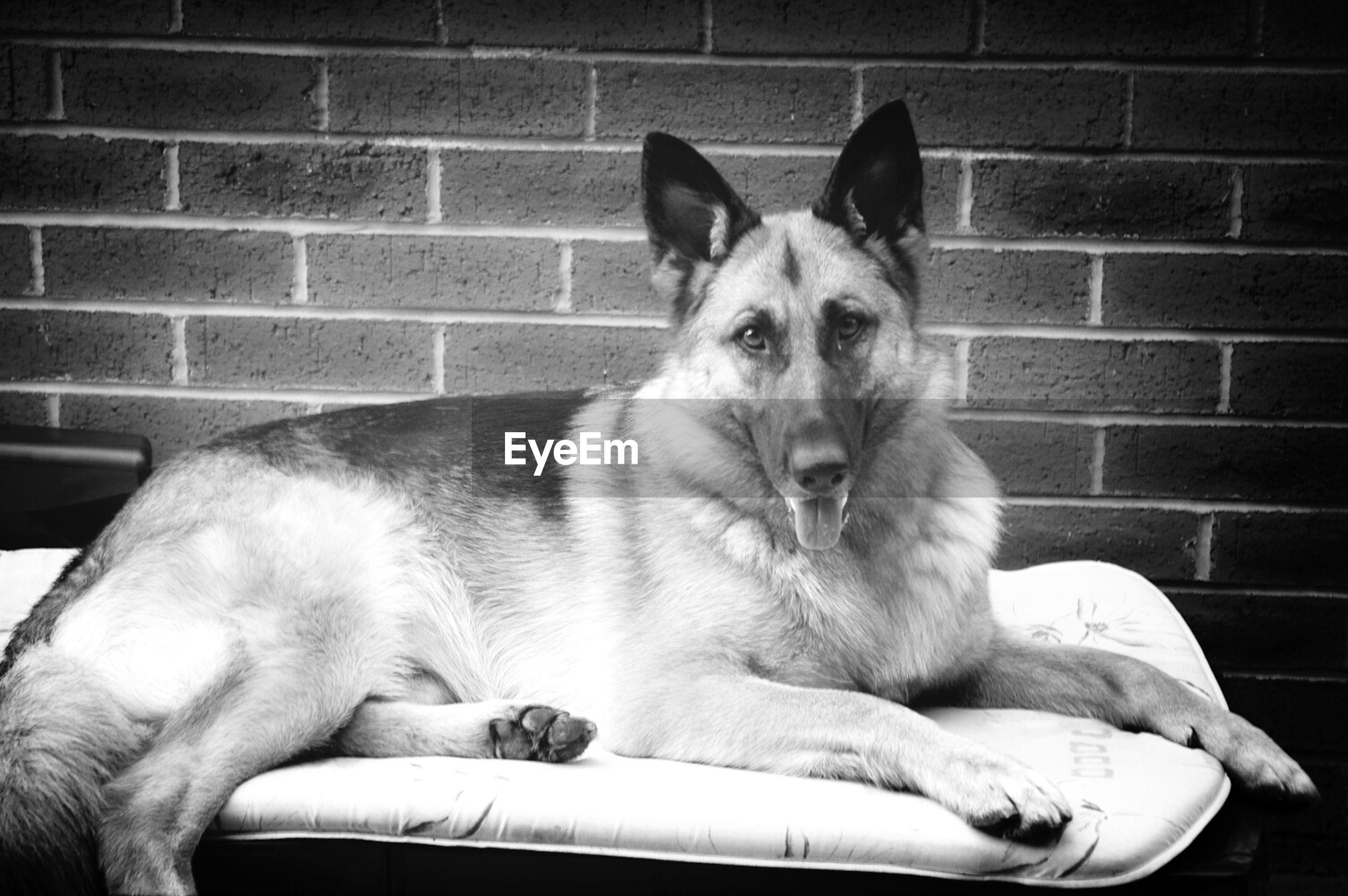 Portrait of german shepherd sitting on bed against brick wall