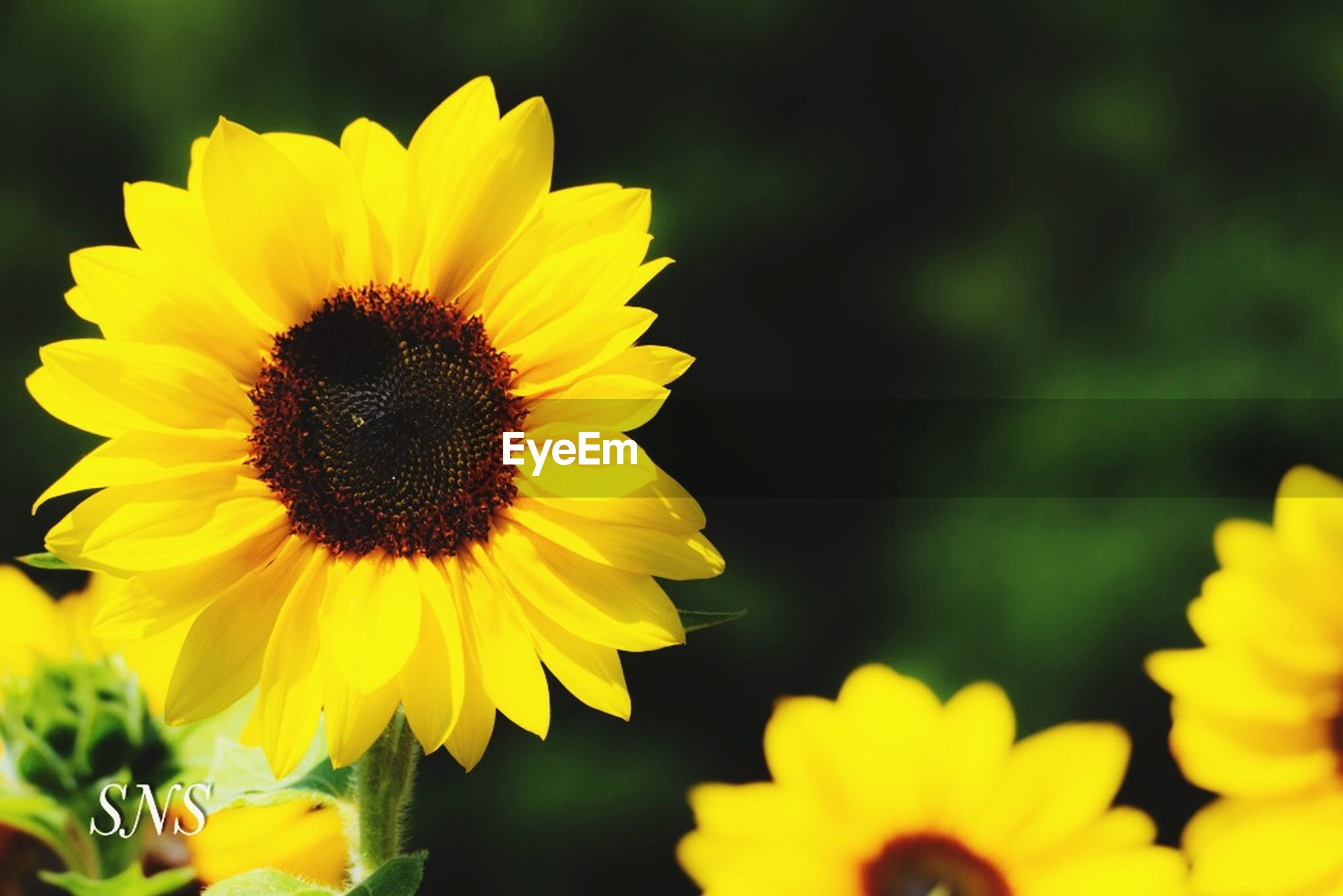 flowering plant, flower, yellow, flower head, fragility, vulnerability, petal, inflorescence, growth, freshness, plant, beauty in nature, close-up, pollen, nature, sunflower, focus on foreground, no people, outdoors, selective focus, pollination