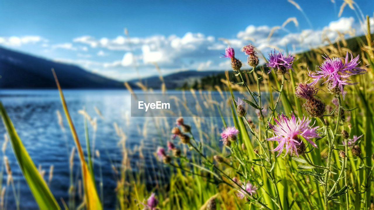 Thistles Blooming On Lakeshore Against Sky
