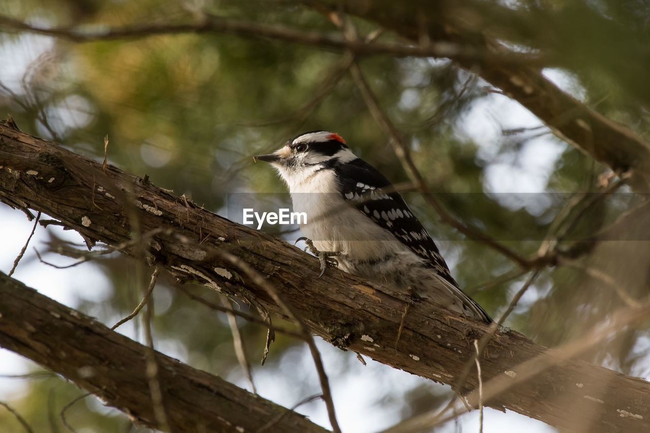 animal wildlife, animal themes, animal, vertebrate, animals in the wild, bird, one animal, tree, perching, branch, plant, low angle view, focus on foreground, no people, woodpecker, nature, day, outdoors, zoology, close-up
