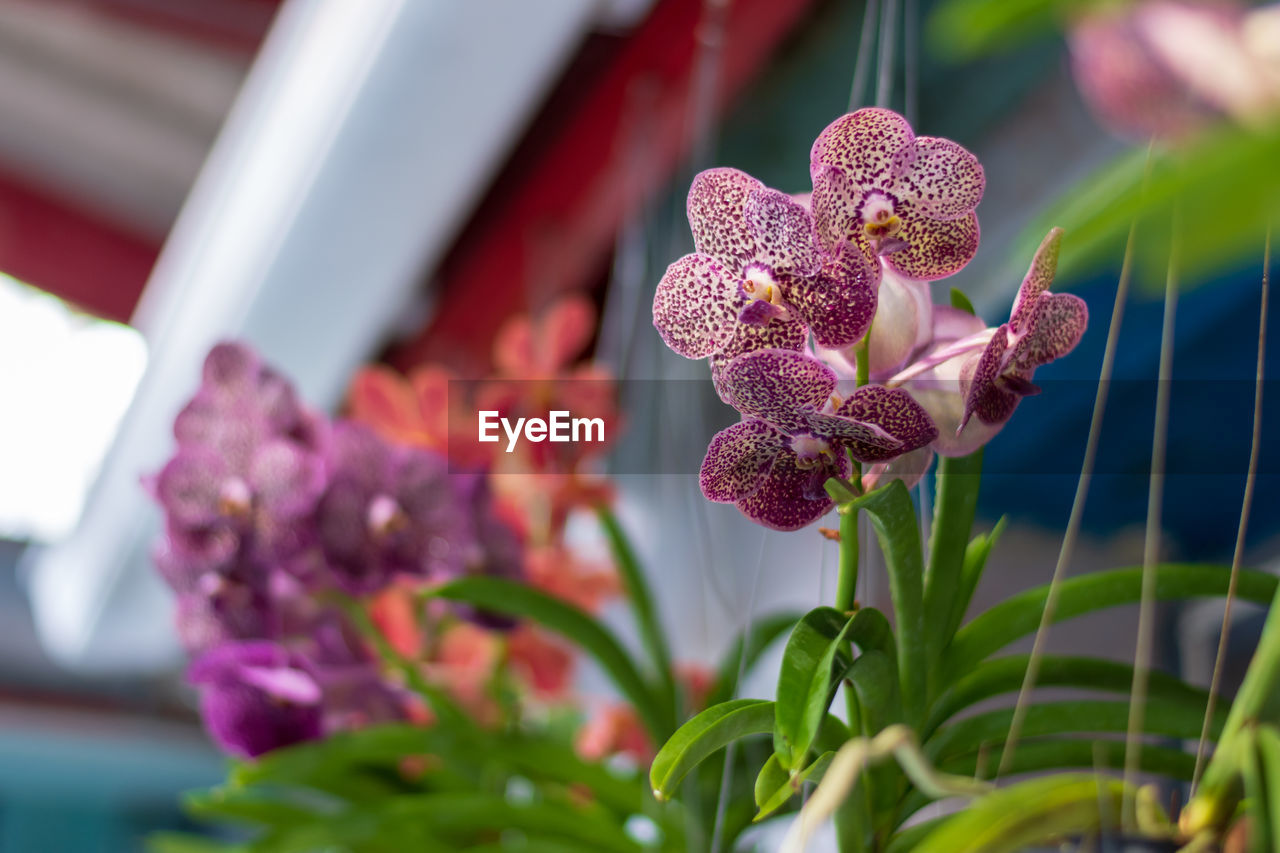 flowering plant, flower, plant, beauty in nature, freshness, growth, vulnerability, close-up, pink color, fragility, petal, inflorescence, focus on foreground, nature, flower head, selective focus, no people, day, plant part, leaf, purple