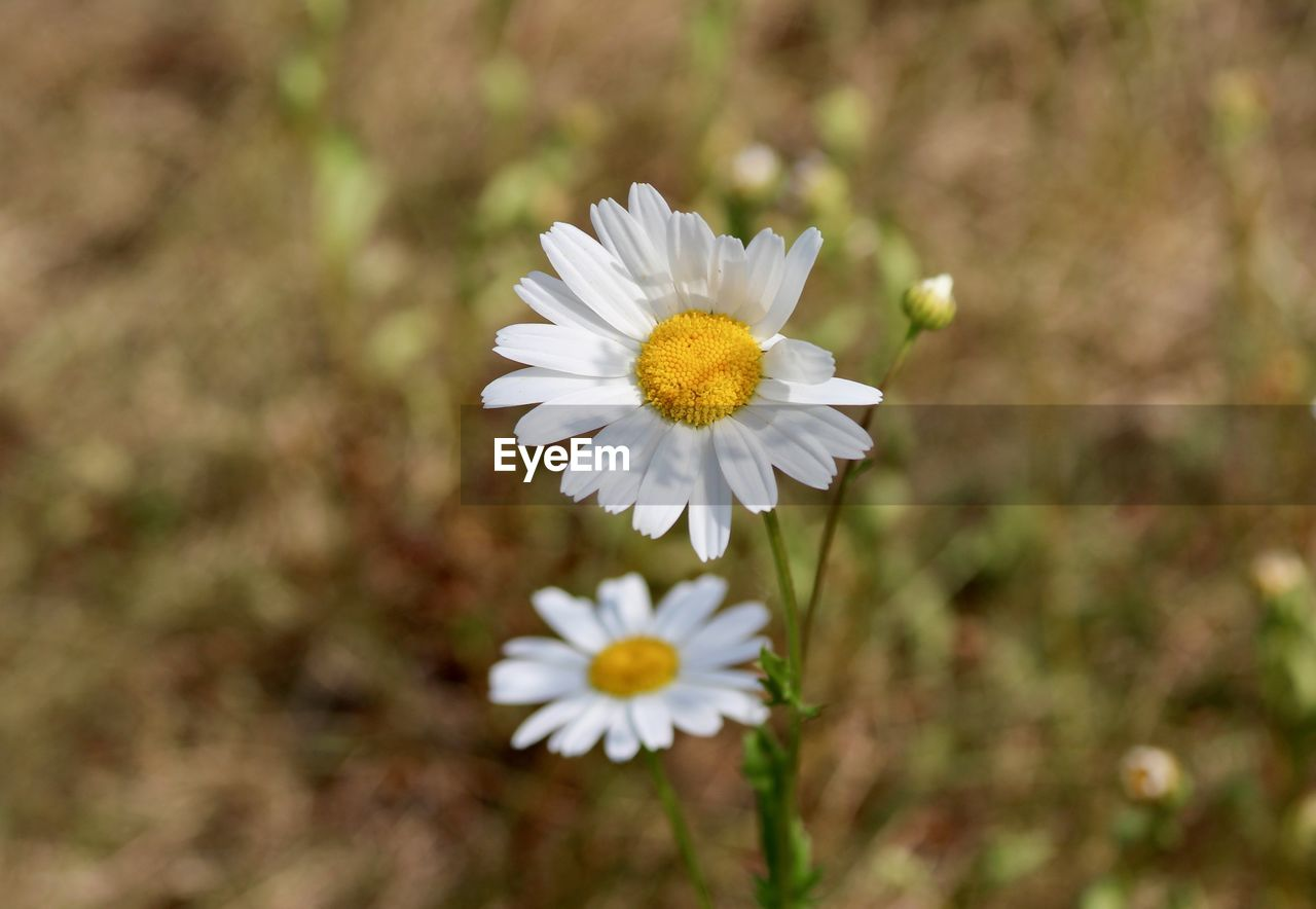 freshness, flowering plant, flower, vulnerability, fragility, petal, beauty in nature, plant, growth, inflorescence, flower head, close-up, white color, daisy, day, nature, pollen, focus on foreground, no people, botany, outdoors