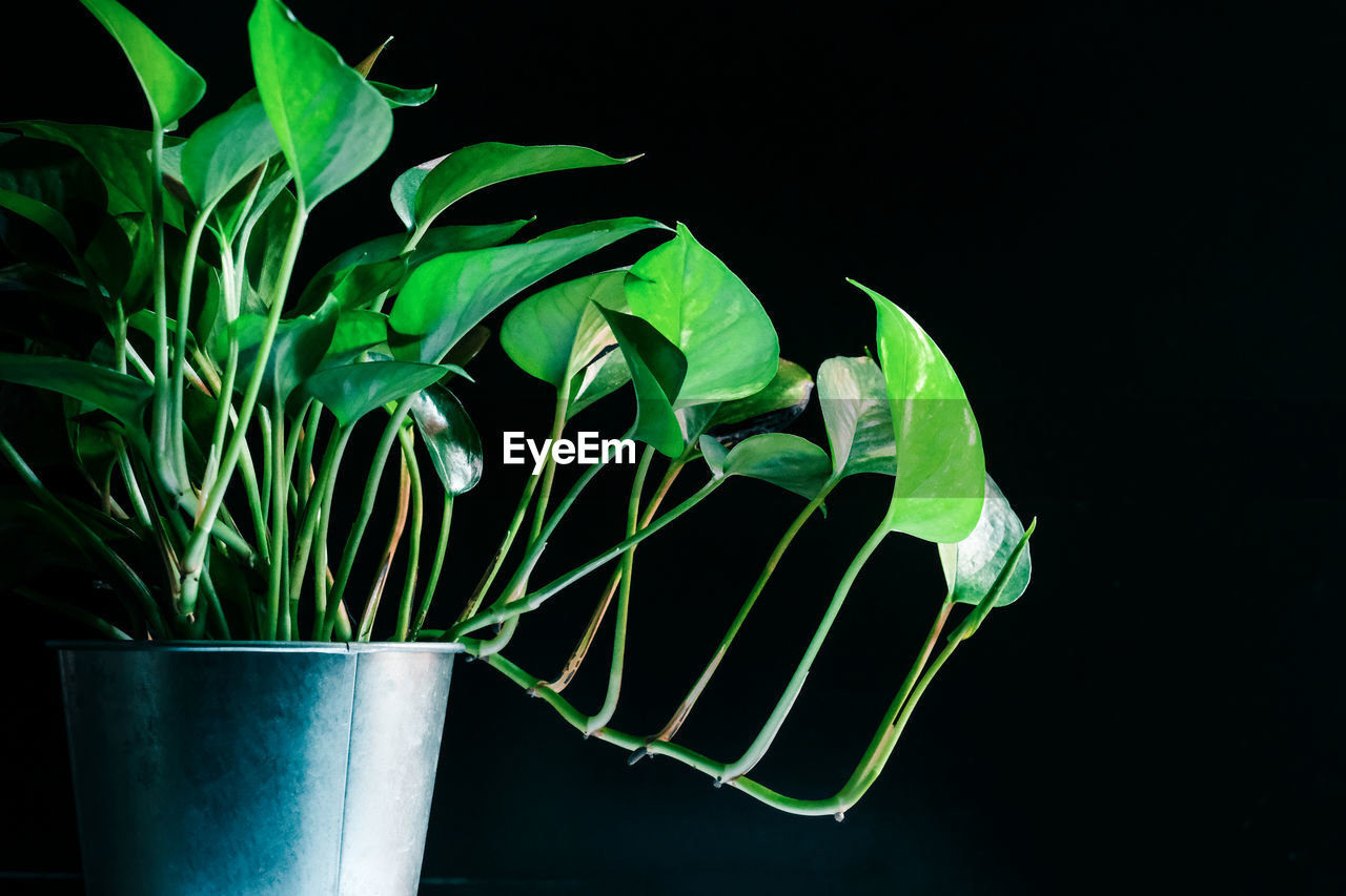 green color, plant part, leaf, plant, growth, close-up, nature, no people, studio shot, potted plant, freshness, indoors, black background, beauty in nature, night, food and drink, still life, vulnerability, focus on foreground, houseplant