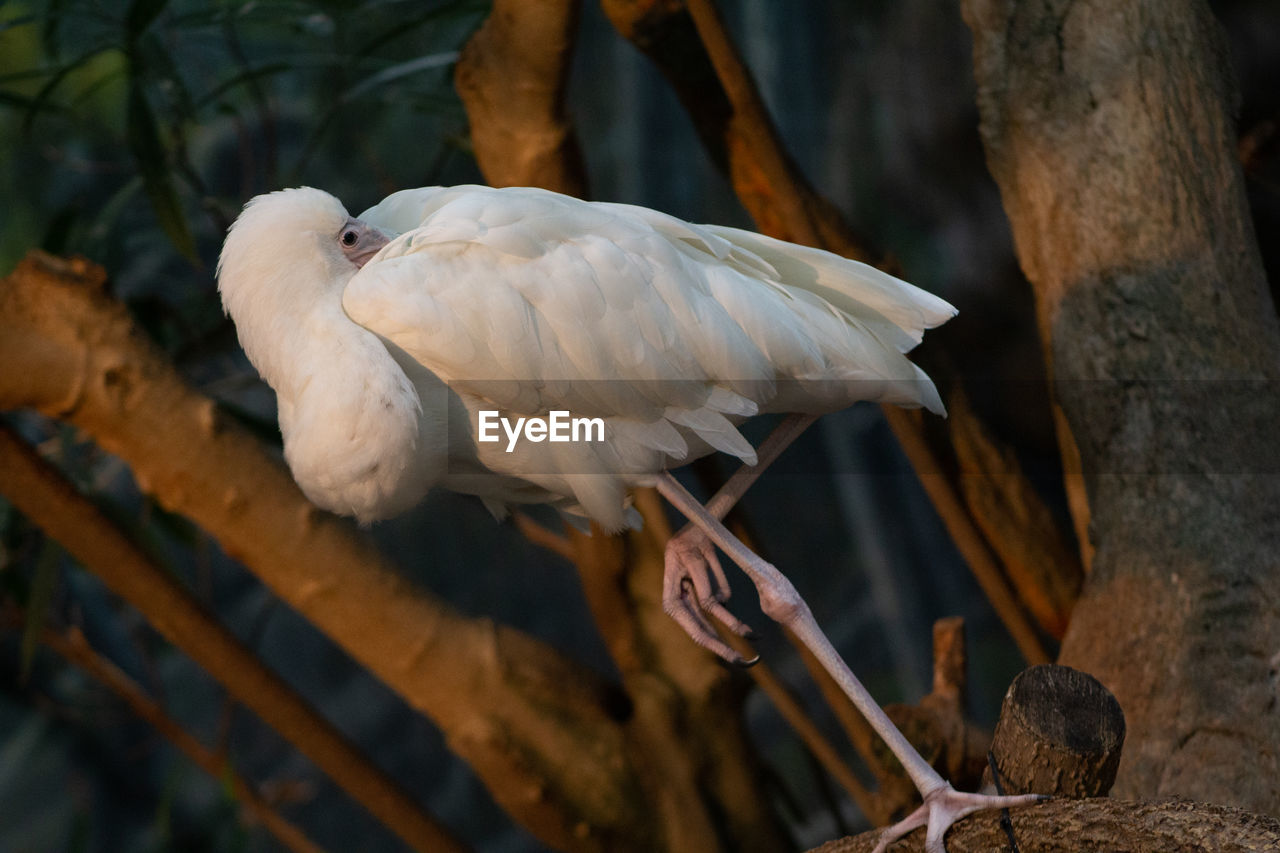 bird, animal, animal themes, vertebrate, animal wildlife, animals in the wild, focus on foreground, perching, one animal, tree, no people, day, nature, beak, outdoors, close-up, white color, plant, branch