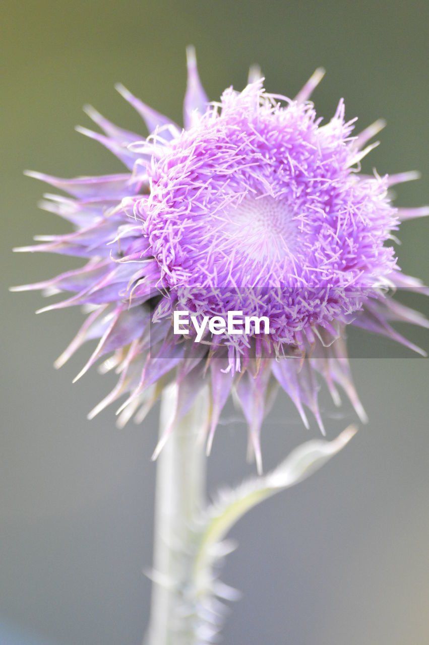 flower, purple, petal, fragility, beauty in nature, flower head, nature, freshness, growth, plant, no people, close-up, blooming, day, thistle, outdoors, passion flower