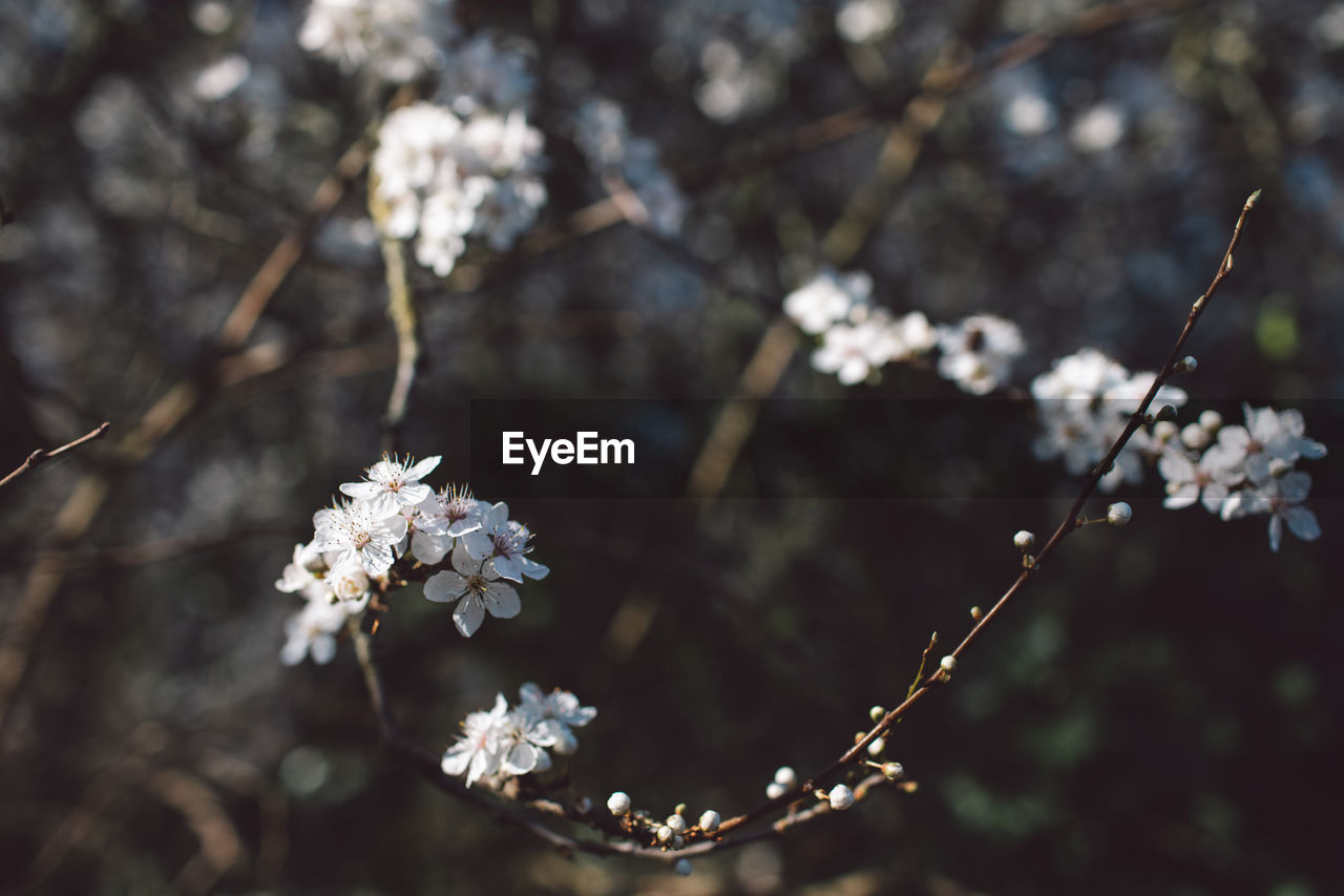 flowering plant, flower, plant, fragility, growth, freshness, vulnerability, beauty in nature, focus on foreground, close-up, tree, nature, white color, day, blossom, no people, branch, springtime, twig, outdoors, flower head, cherry blossom, cherry tree