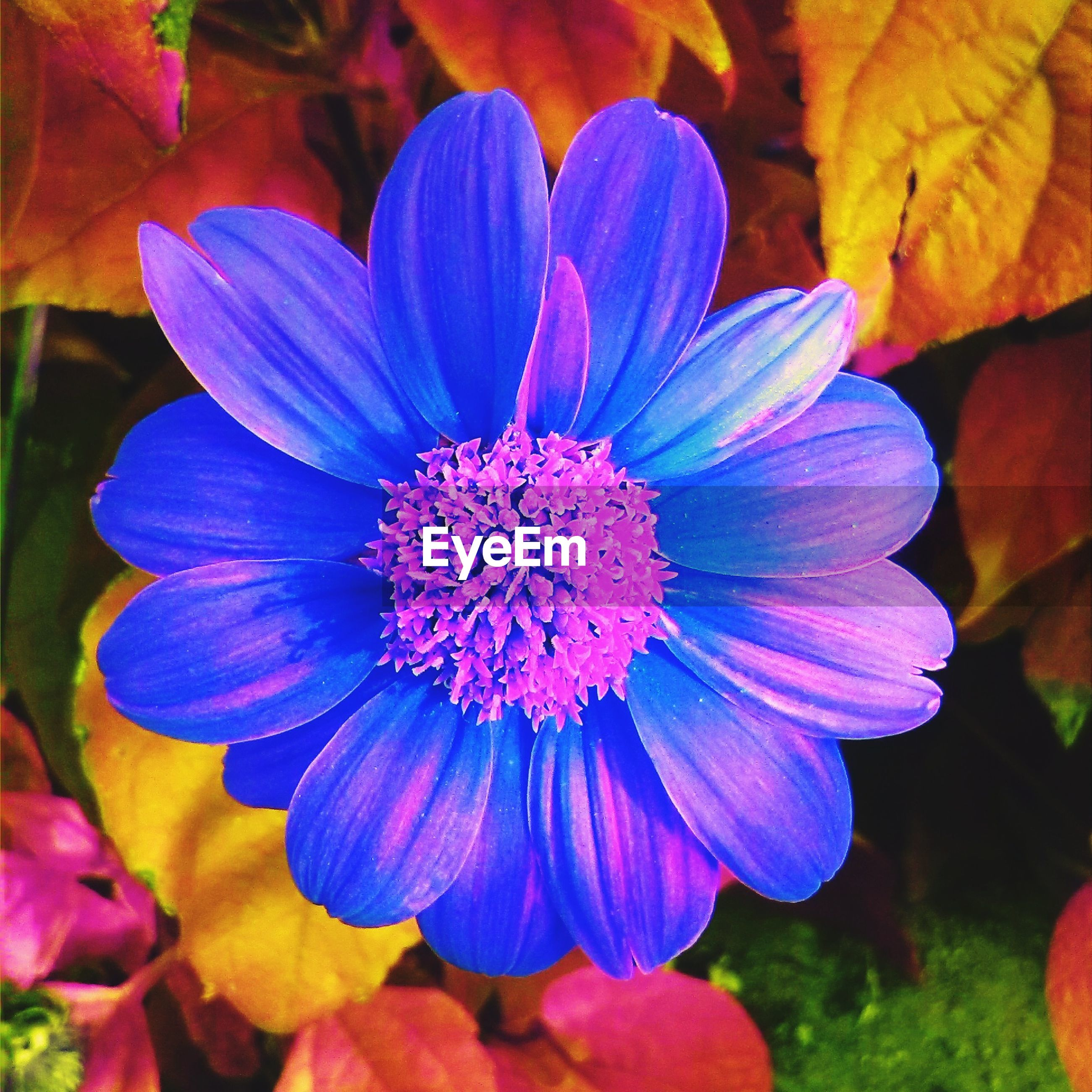 flower, petal, freshness, flower head, fragility, growth, beauty in nature, purple, close-up, blooming, pollen, nature, plant, focus on foreground, single flower, in bloom, stamen, blossom, outdoors, blue