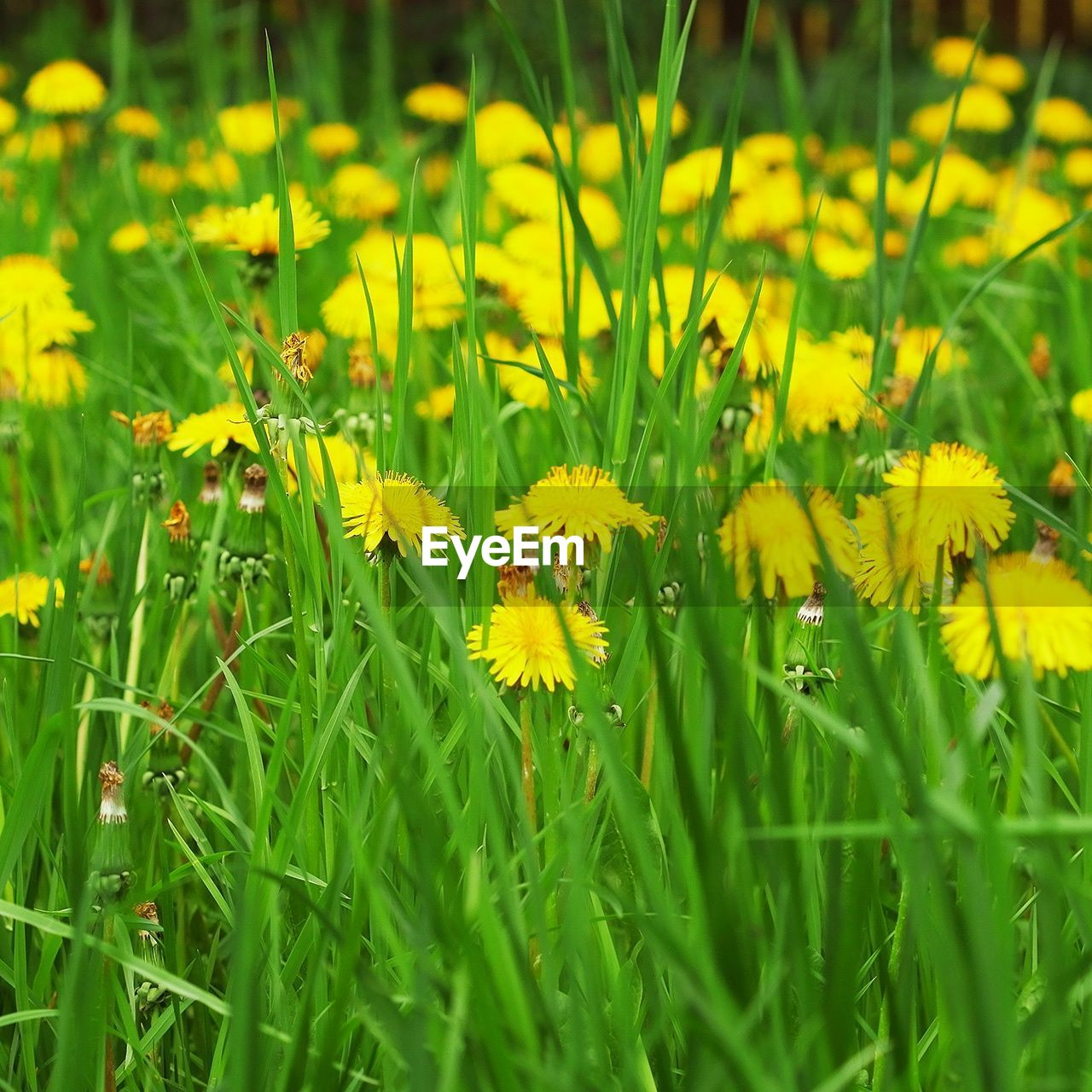 flower, yellow, growth, nature, beauty in nature, plant, green color, field, grass, freshness, fragility, petal, outdoors, no people, selective focus, day, meadow, blooming, flower head, springtime, close-up, animal themes