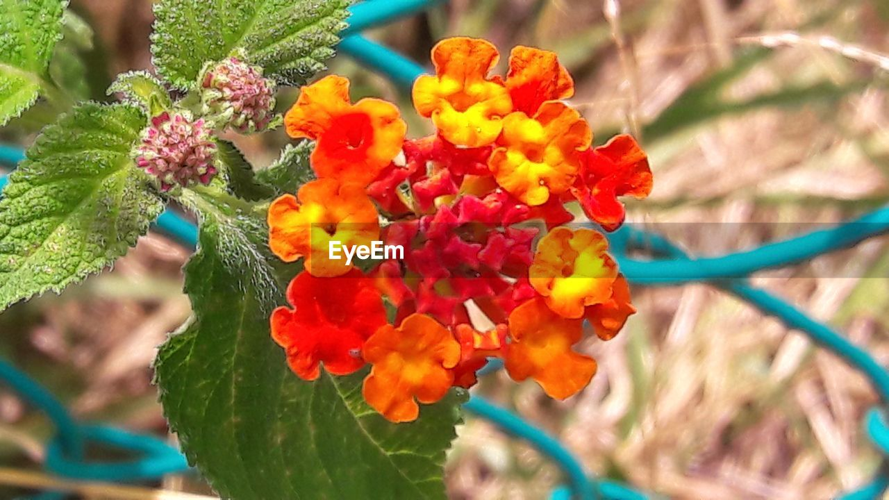 flower, growth, beauty in nature, fragility, nature, plant, freshness, petal, outdoors, no people, day, close-up, flower head, focus on foreground, leaf, blooming, lantana camara