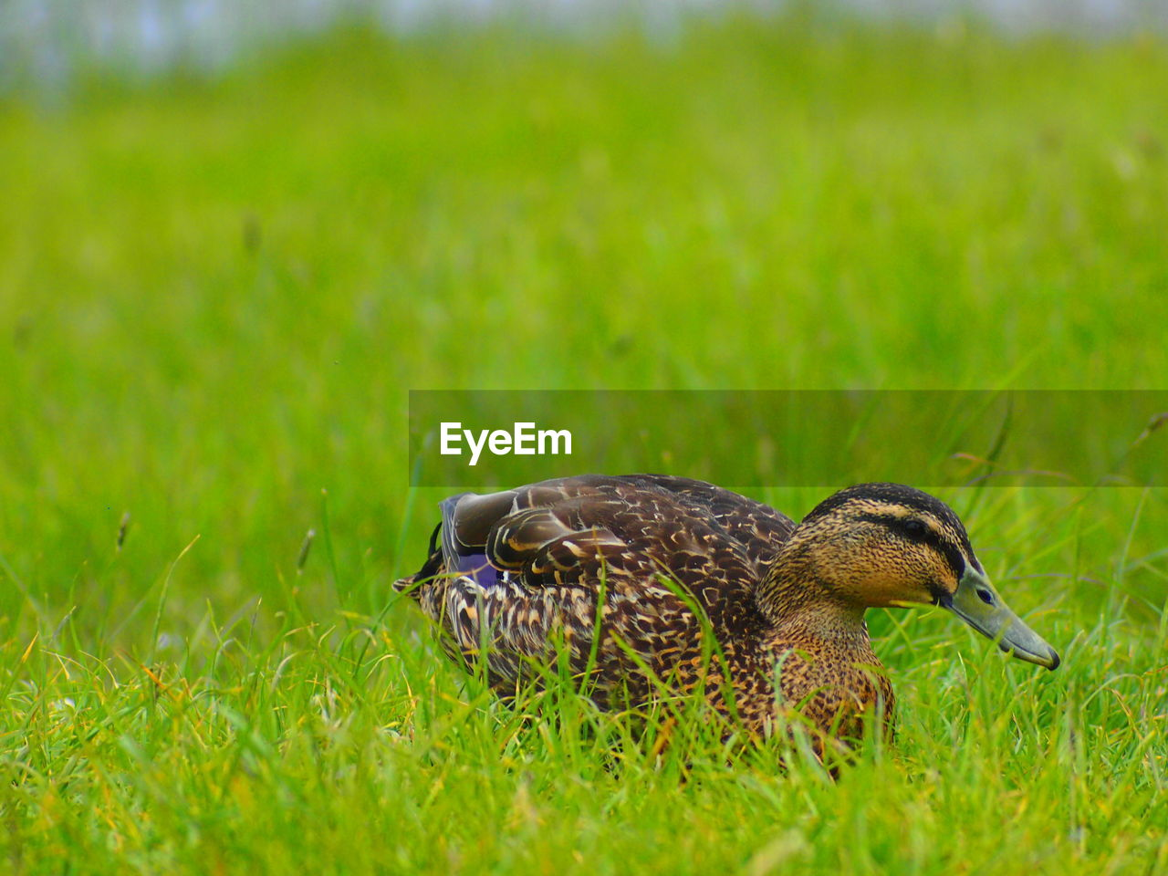 grass, animal themes, one animal, bird, animals in the wild, field, green color, nature, focus on foreground, animal wildlife, no people, day, outdoors, close-up