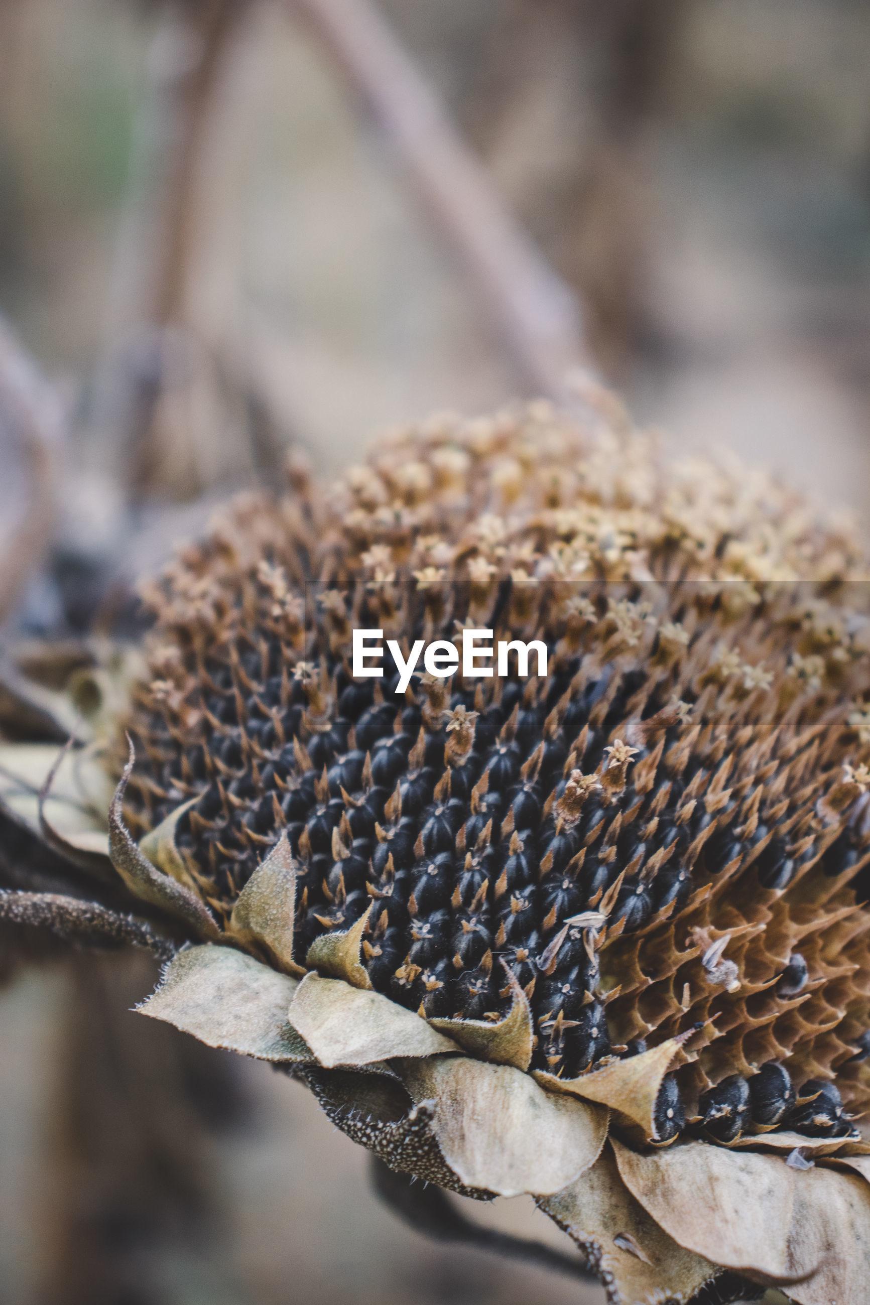 Close-up of sunflower seeds