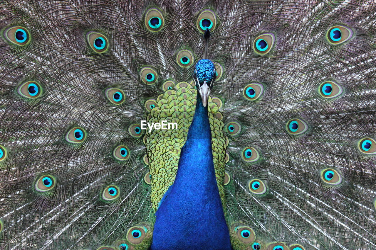 peacock, peacock feather, fanned out, feather, bird, one animal, animal wildlife, animal themes, showing, blue, front view, animals in the wild, close-up, multi colored, animal head, pride, beauty in nature, dating, looking at camera, nature, vanity, outdoors, no people, portrait, beauty, day