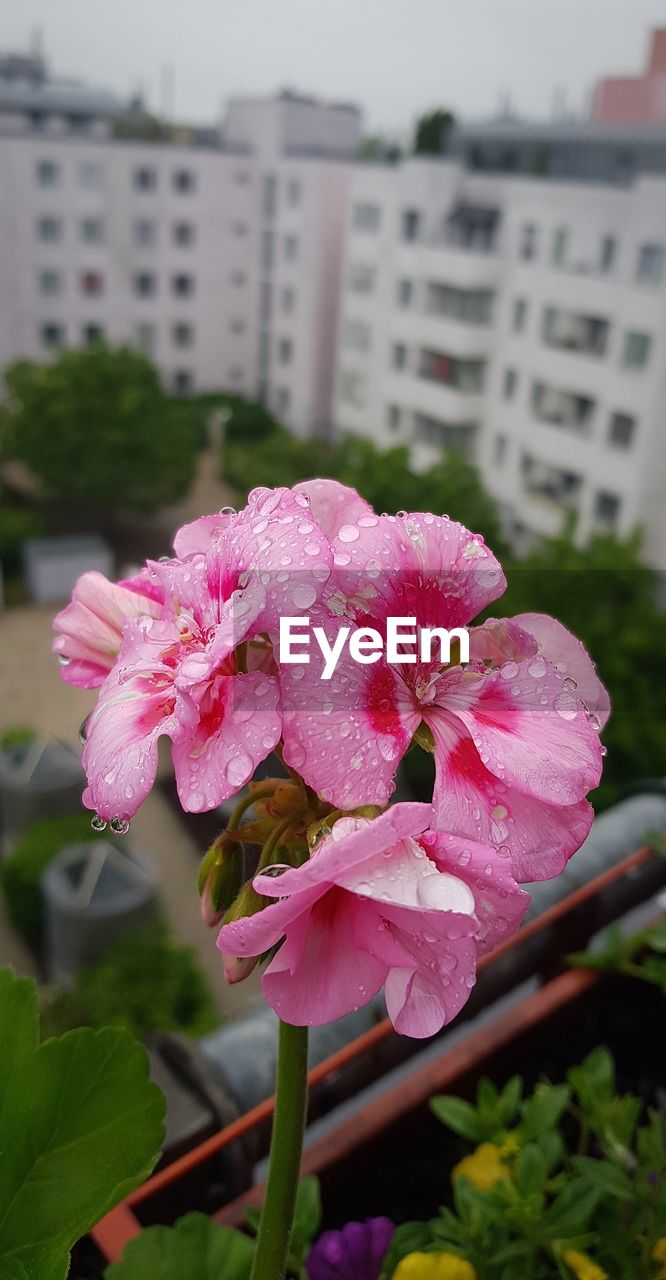 flower, pink color, petal, nature, fragility, beauty in nature, focus on foreground, plant, day, no people, outdoors, flower head, building exterior, architecture, built structure, blooming, growth, close-up, water, freshness, periwinkle, petunia