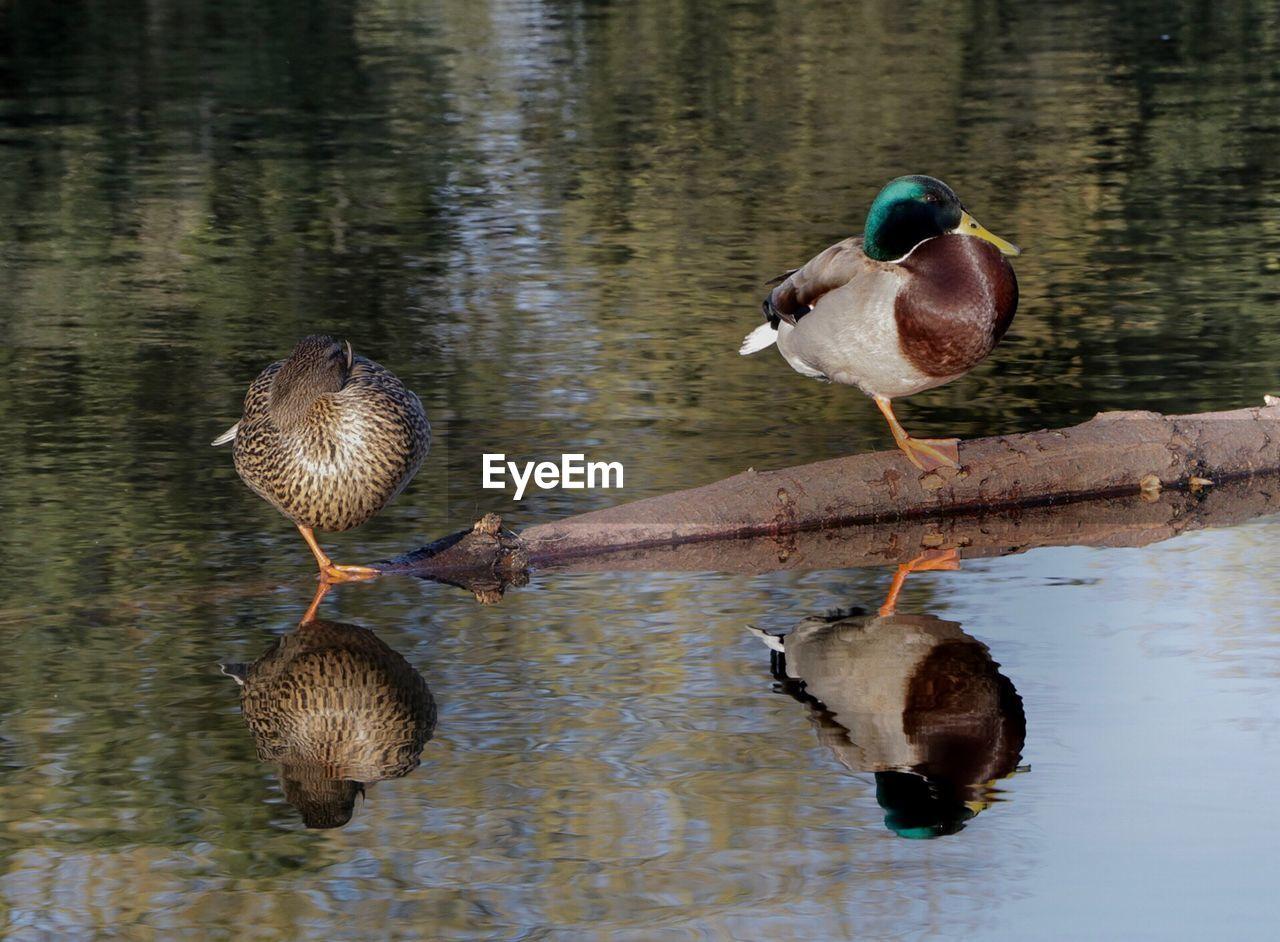 lake, water, duck, reflection, animals in the wild, animal themes, bird, animal wildlife, nature, waterfront, mandarin duck, mallard duck, day, no people, water bird, outdoors, beauty in nature