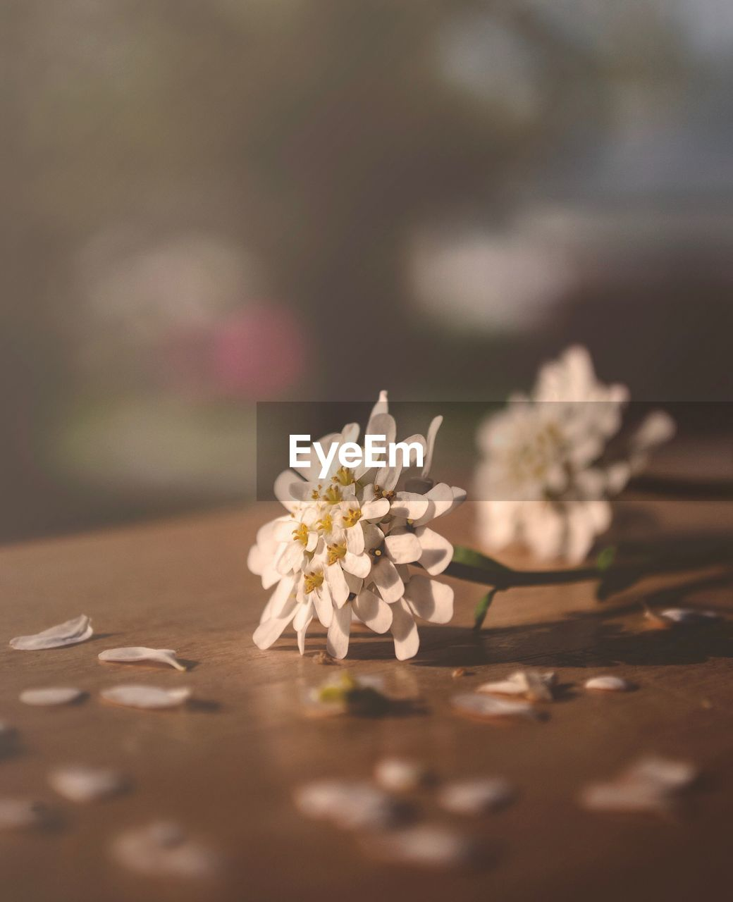 flowering plant, flower, plant, fragility, selective focus, vulnerability, beauty in nature, freshness, nature, petal, close-up, no people, day, flower head, table, growth, inflorescence, white color, outdoors, botany, pollen, cherry blossom