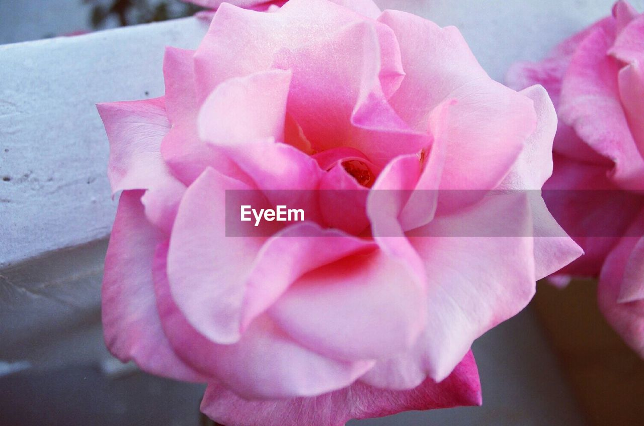 Close-Up Of Pink Rose Blooming