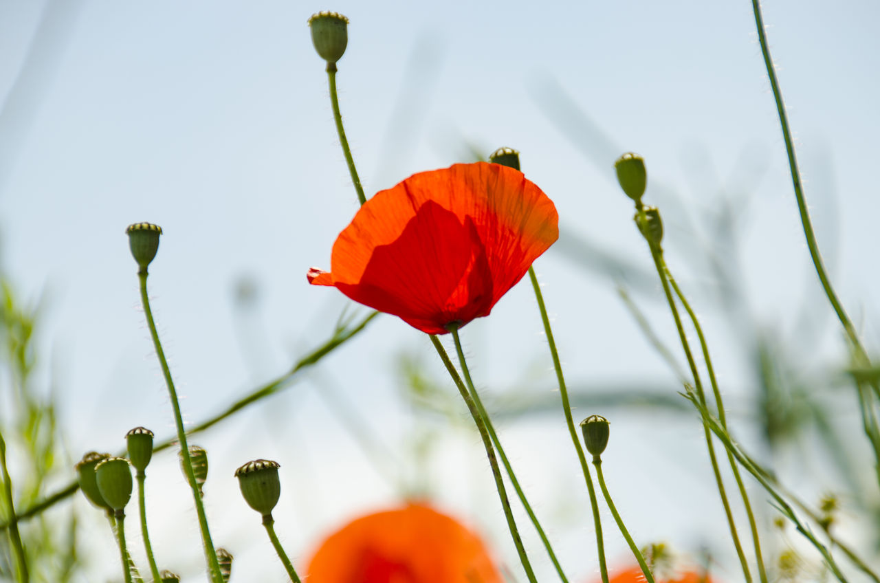 Close-Up Of Poppy Blooming On Field Against Sky