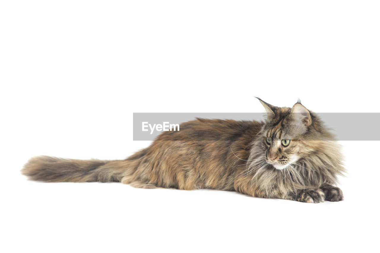 Maine coon cat relaxing against white background