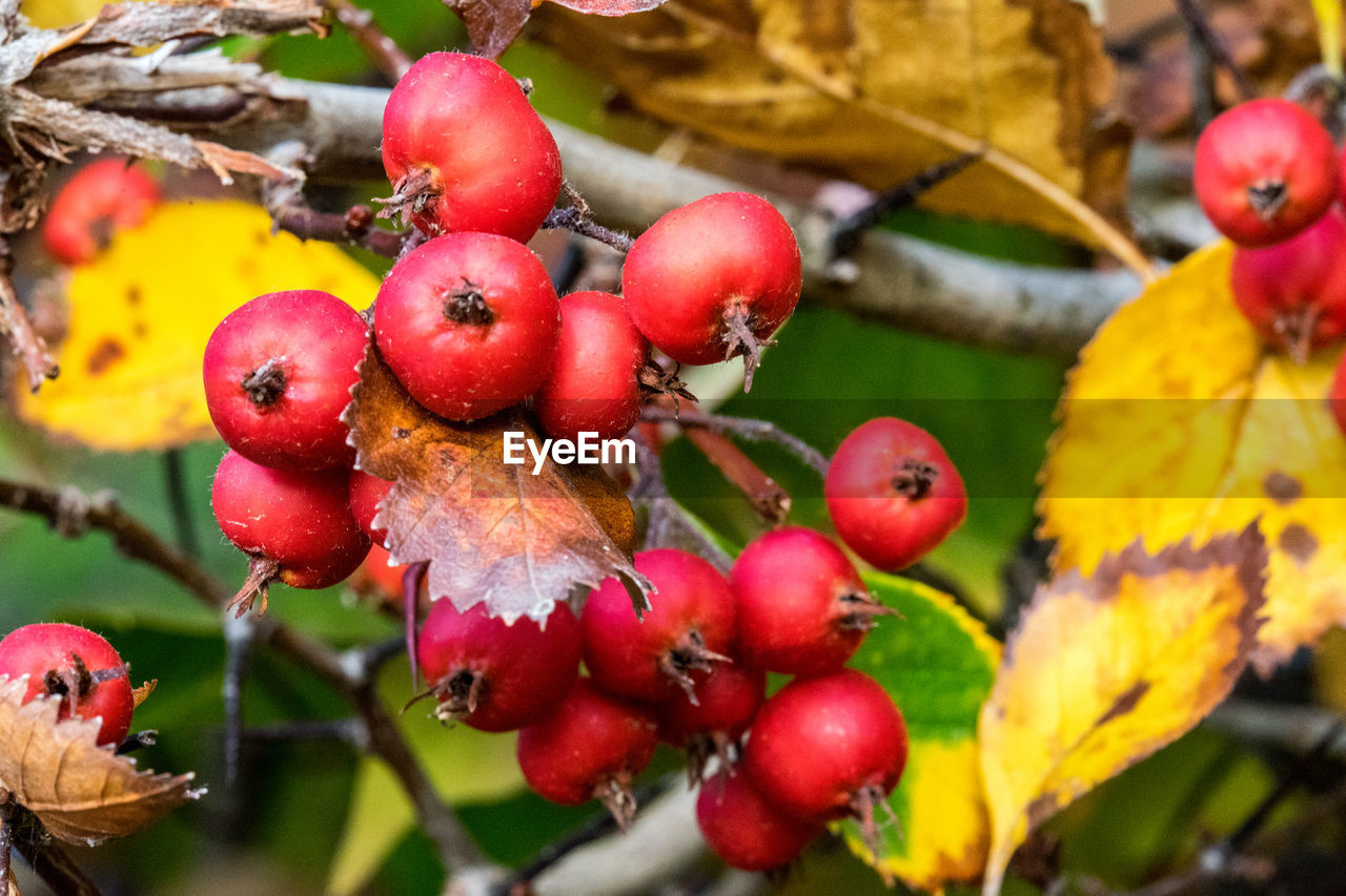 fruit, healthy eating, food, food and drink, close-up, freshness, growth, red, plant, plant part, berry fruit, leaf, no people, focus on foreground, tree, wellbeing, day, nature, beauty in nature, ripe, outdoors, rowanberry