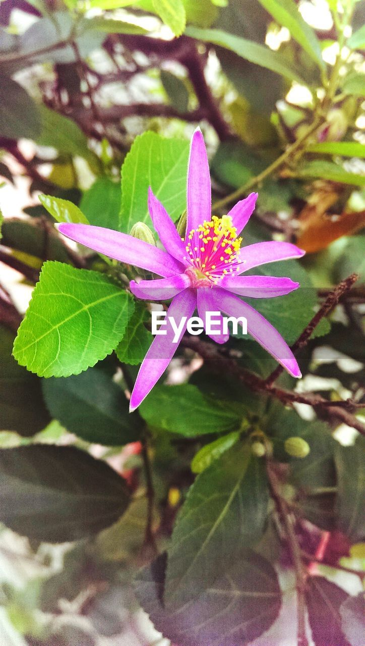 leaf, flower, growth, fragility, petal, plant, pink color, freshness, nature, green color, day, flower head, close-up, beauty in nature, no people, outdoors, blooming, periwinkle