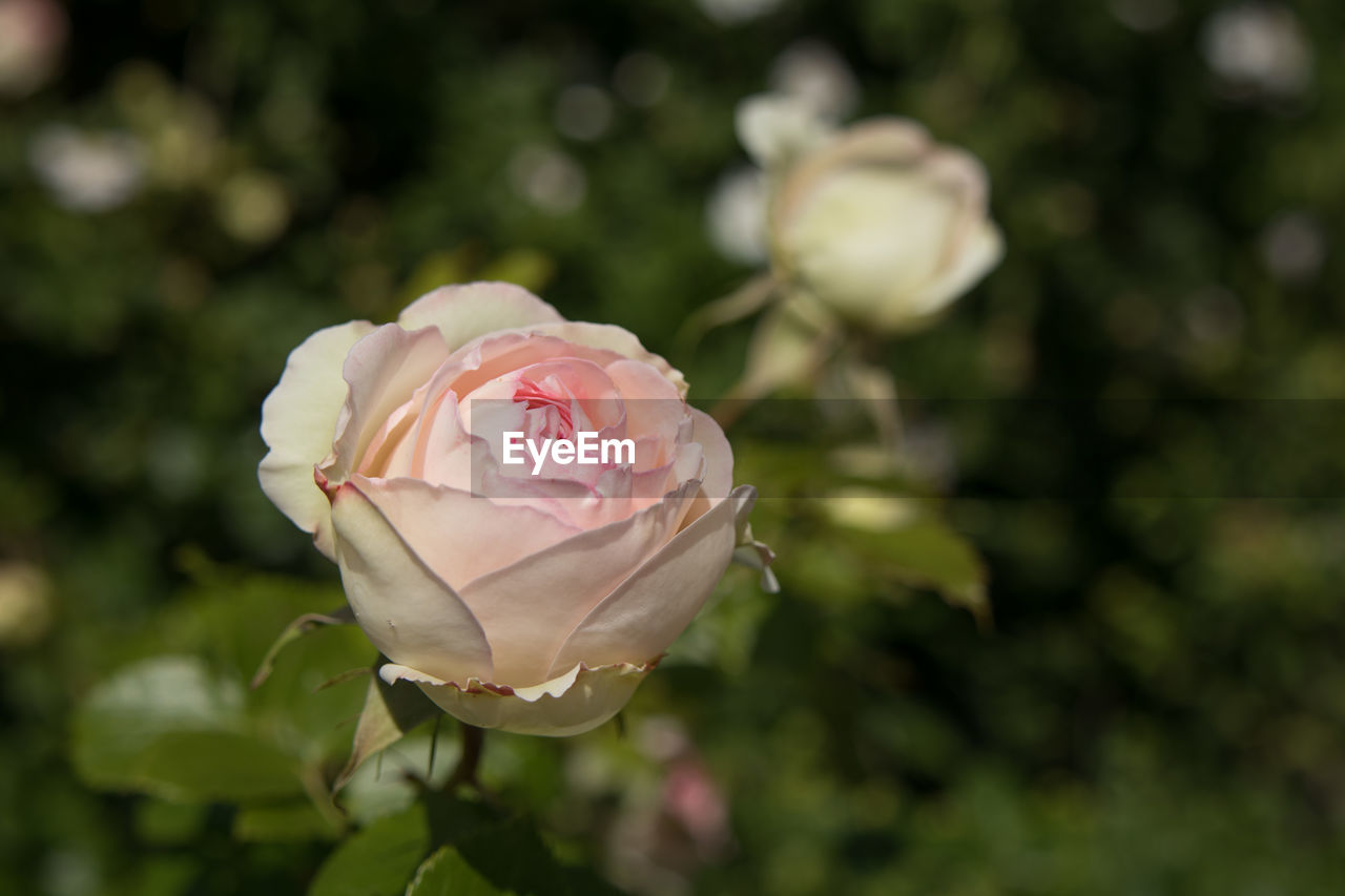 flowering plant, plant, flower, beauty in nature, fragility, vulnerability, rose, petal, freshness, rose - flower, inflorescence, close-up, growth, pink color, flower head, focus on foreground, nature, no people, day