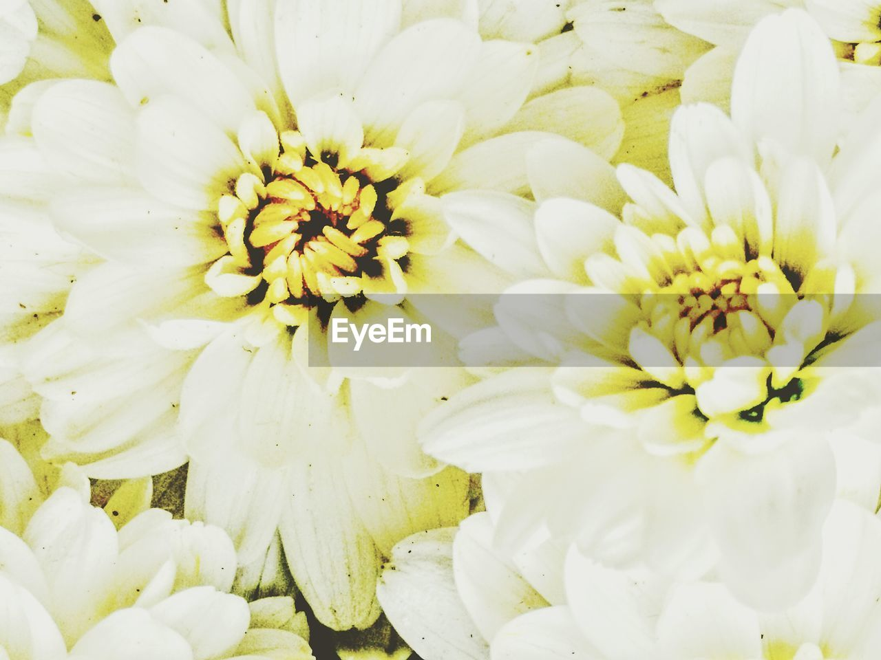 flower, petal, fragility, flower head, beauty in nature, freshness, white color, nature, no people, close-up, growth, blooming, full frame, plant, outdoors, day, backgrounds