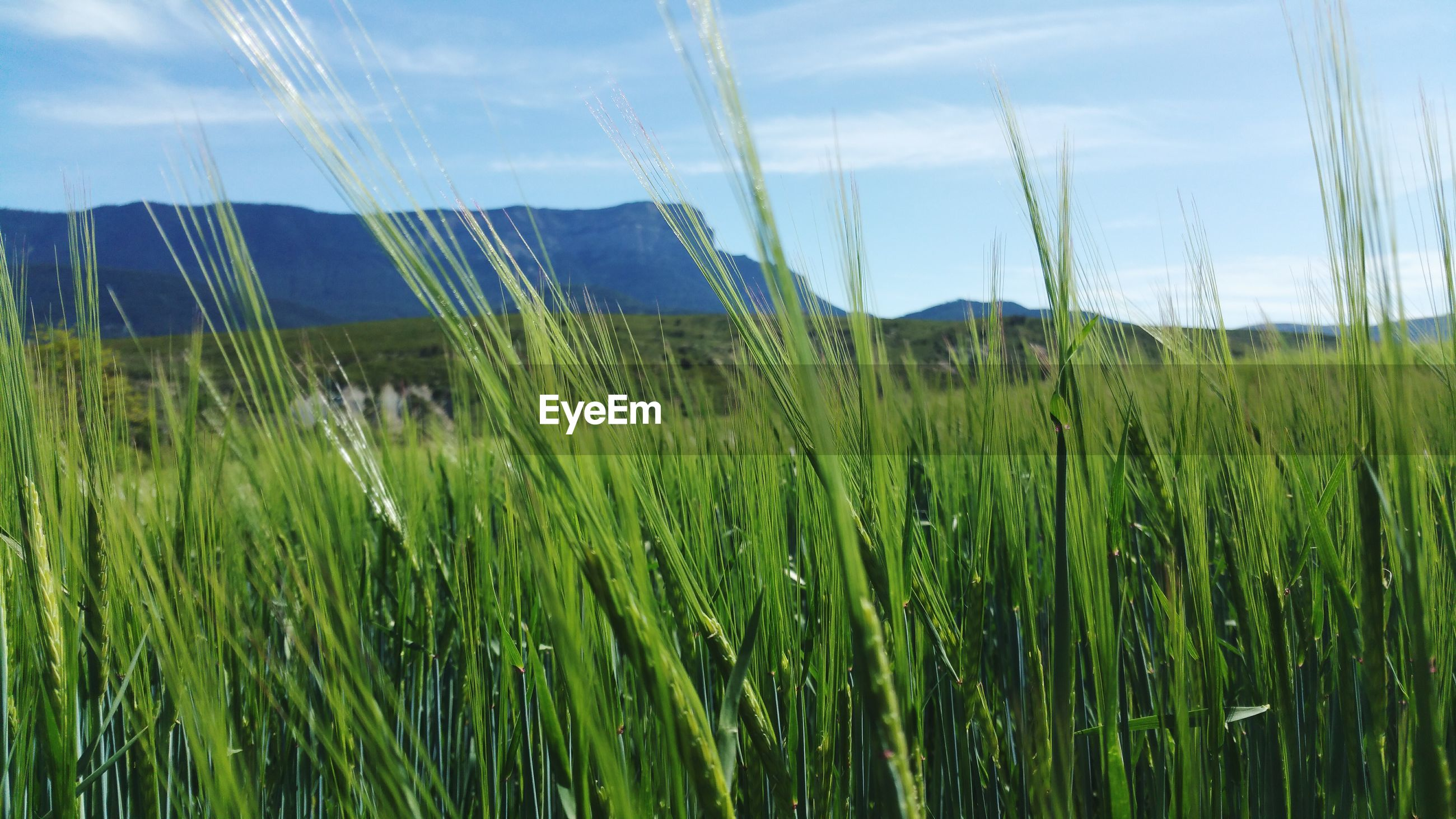 growth, field, grass, agriculture, rural scene, crop, sky, farm, green color, plant, nature, landscape, tranquility, cereal plant, beauty in nature, tranquil scene, cultivated land, day, growing, scenics