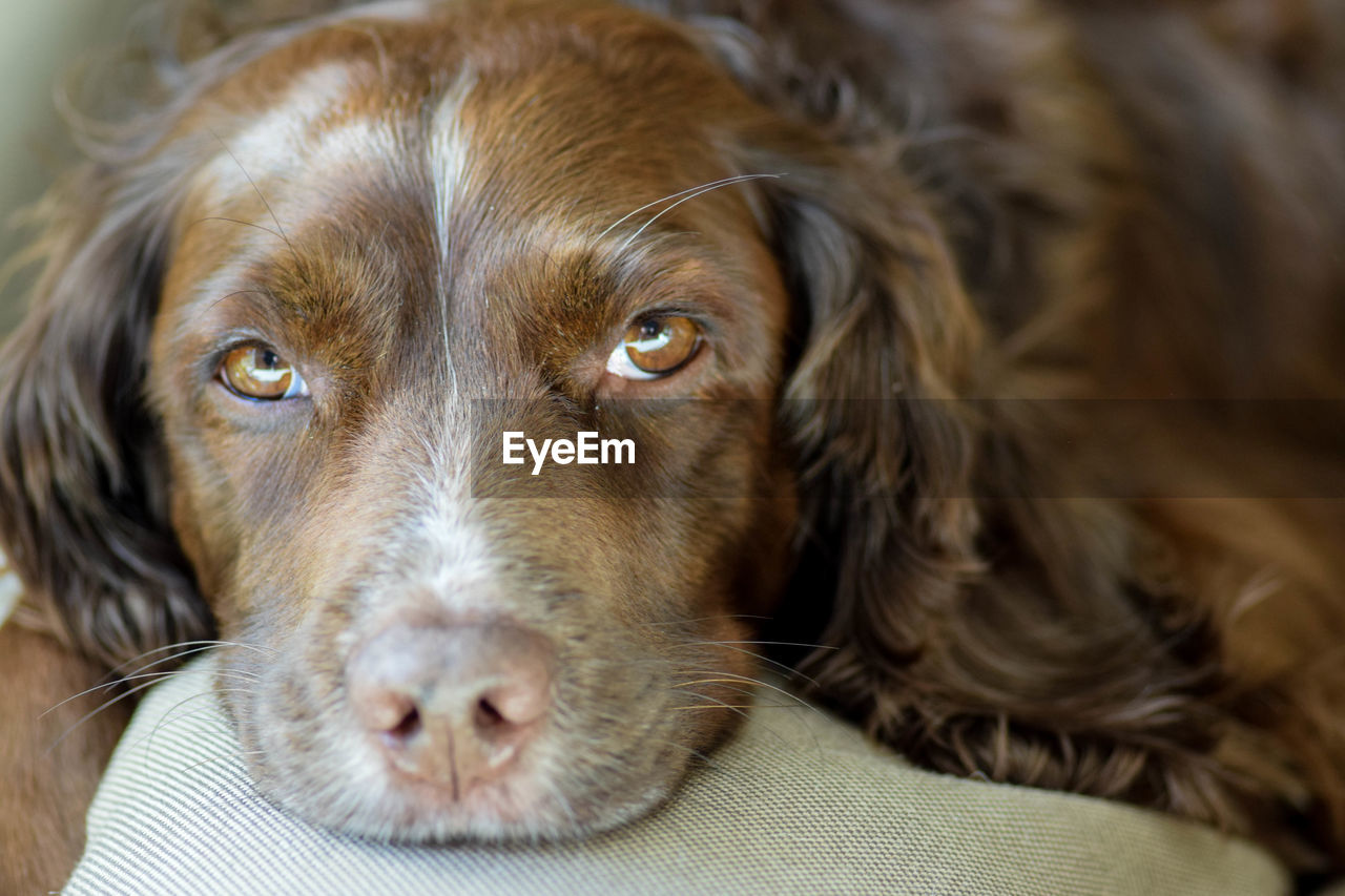 domestic, one animal, canine, pets, dog, domestic animals, animal themes, mammal, animal, vertebrate, close-up, relaxation, portrait, animal body part, indoors, no people, animal head, lying down, looking at camera, selective focus, animal eye, snout, whisker