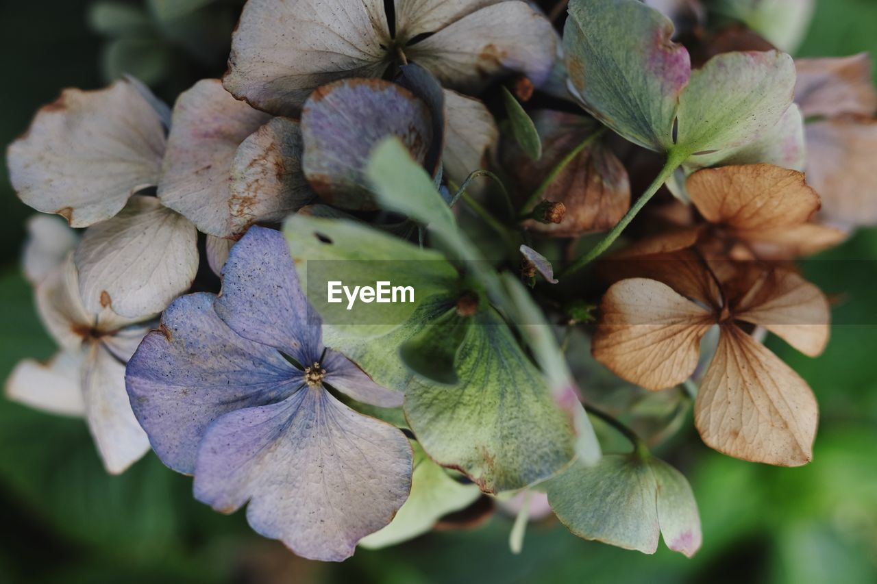 flower, plant, flower head, petal, focus on foreground, beauty in nature, close-up, nature, fragility, growth, no people, leaf, day, outdoors, hydrangea, blooming, freshness, periwinkle