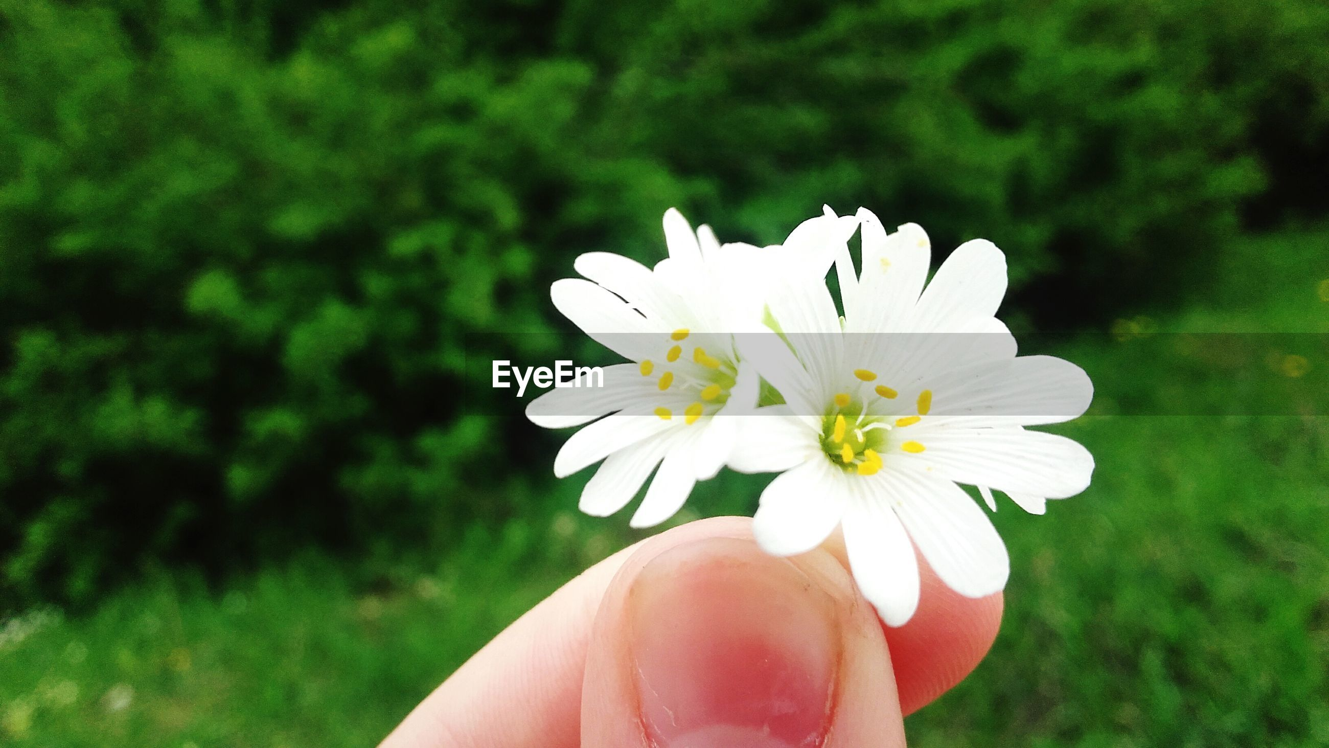 person, flower, holding, focus on foreground, white color, part of, human finger, fragility, petal, close-up, freshness, lifestyles, cropped, flower head, unrecognizable person, personal perspective