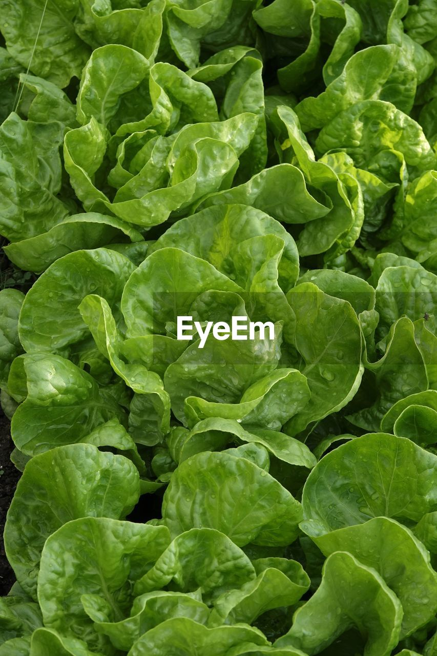 green color, food and drink, vegetable, healthy eating, food, wellbeing, full frame, freshness, plant part, leaf, no people, backgrounds, lettuce, raw food, close-up, brussels sprout, organic, nature, agriculture, day