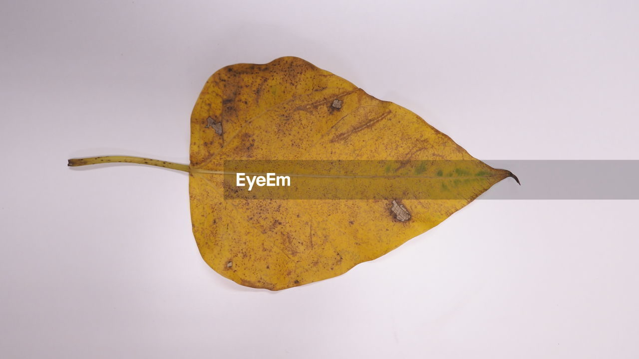 Close-up of autumn leaf against white background