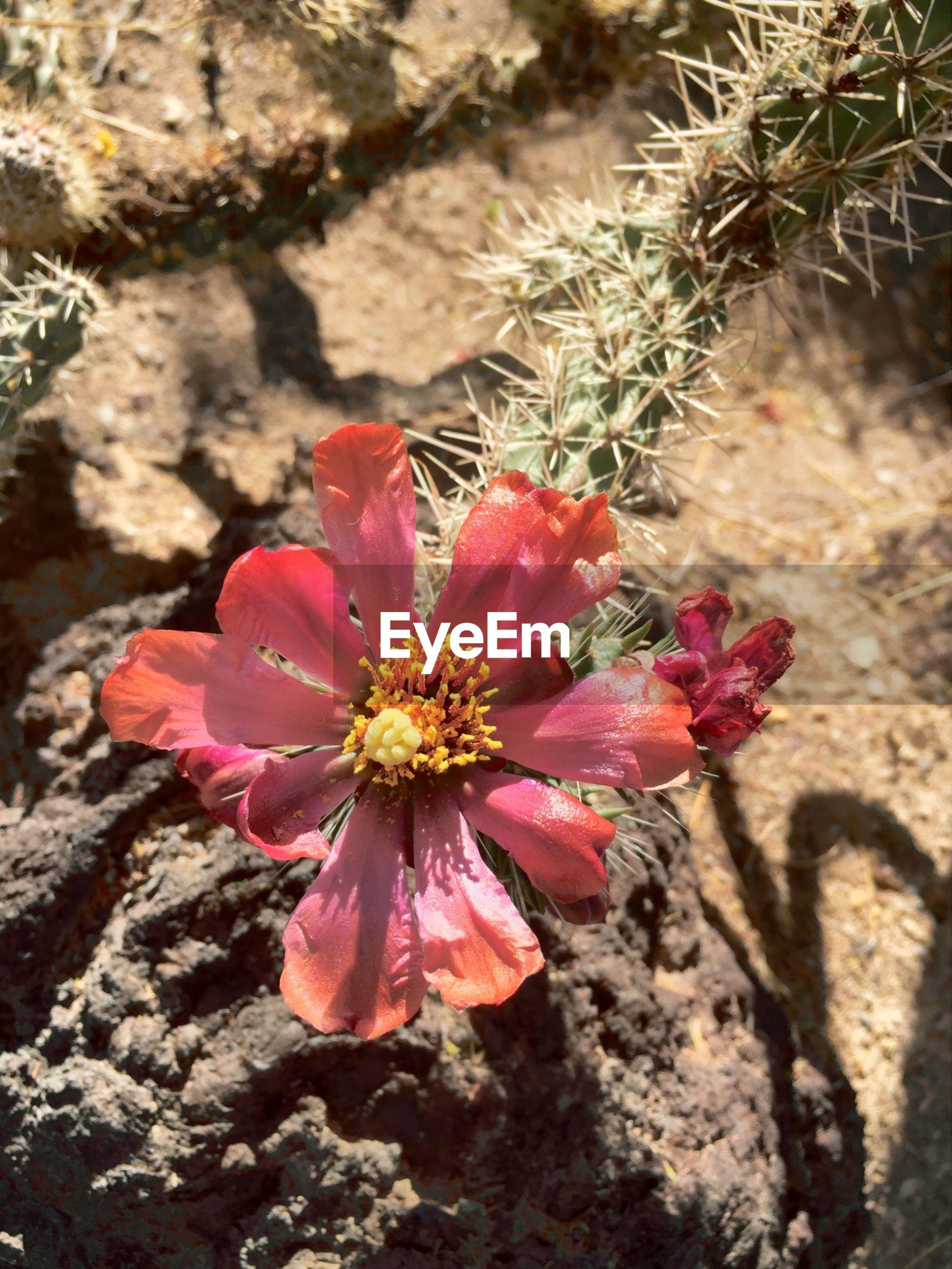 Close-up of pink cholla cactus