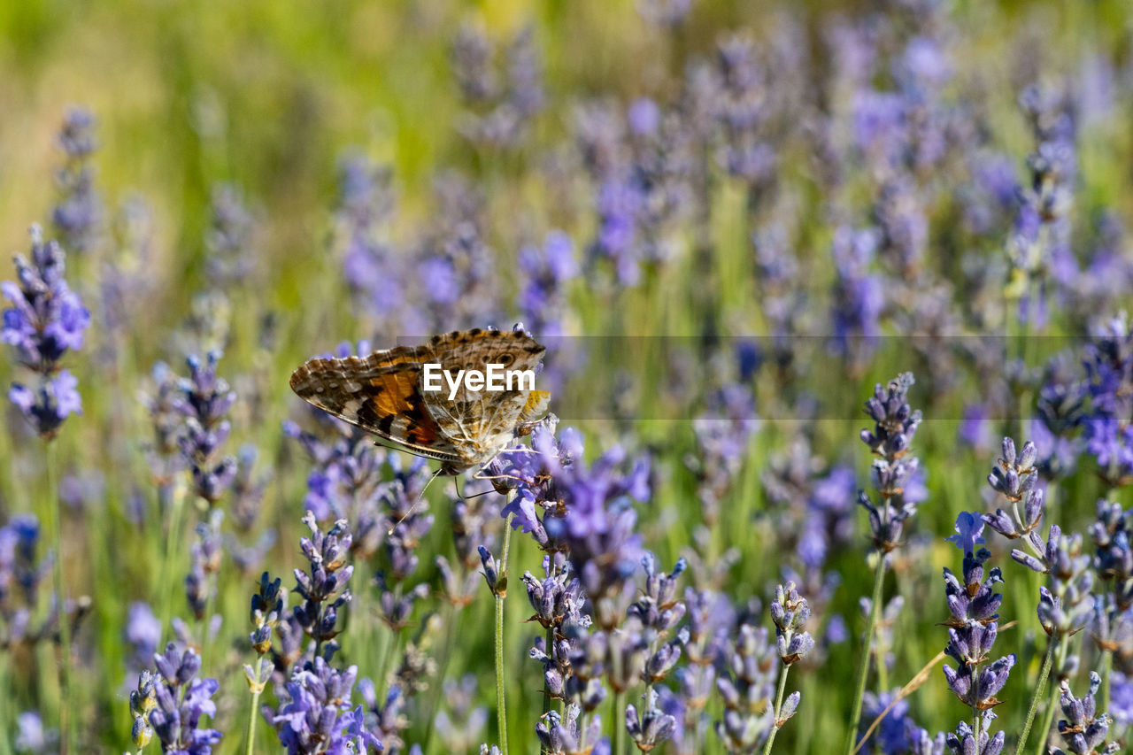 flower, flowering plant, plant, beauty in nature, animal, animal themes, animal wildlife, insect, animals in the wild, invertebrate, one animal, vulnerability, growth, fragility, purple, freshness, close-up, petal, nature, lavender, animal wing, butterfly - insect, no people, flower head, pollination