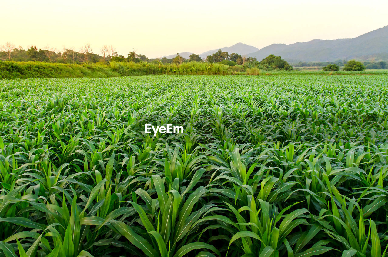 agriculture, field, growth, farm, green color, crop, rural scene, nature, cereal plant, beauty in nature, tranquility, no people, landscape, scenics, tranquil scene, outdoors, mountain, food, day, sky, tree, tea crop, freshness
