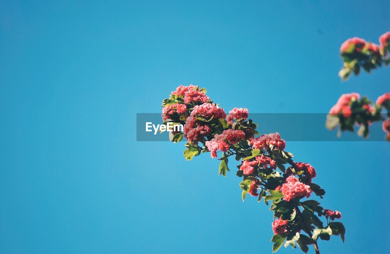 flowering plant, flower, plant, growth, fragility, vulnerability, beauty in nature, freshness, sky, copy space, nature, low angle view, clear sky, blue, no people, day, close-up, pink color, petal, flower head, outdoors, springtime, bunch of flowers, cherry blossom