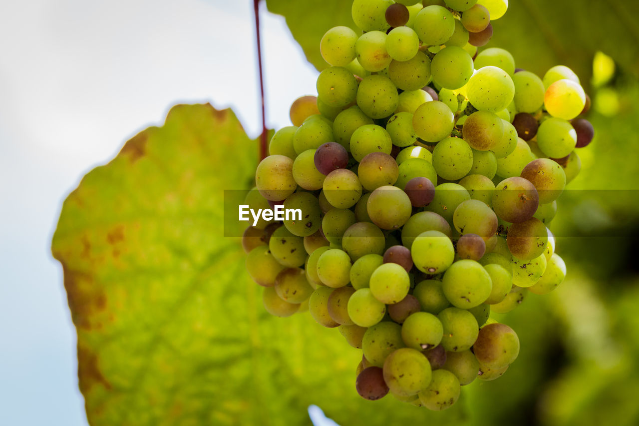 Close-up of grapes hanging on tree
